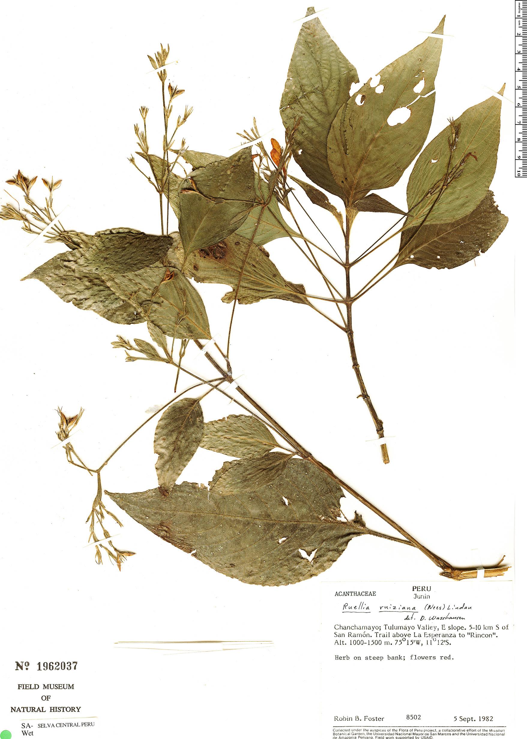 Specimen: Ruellia ruiziana