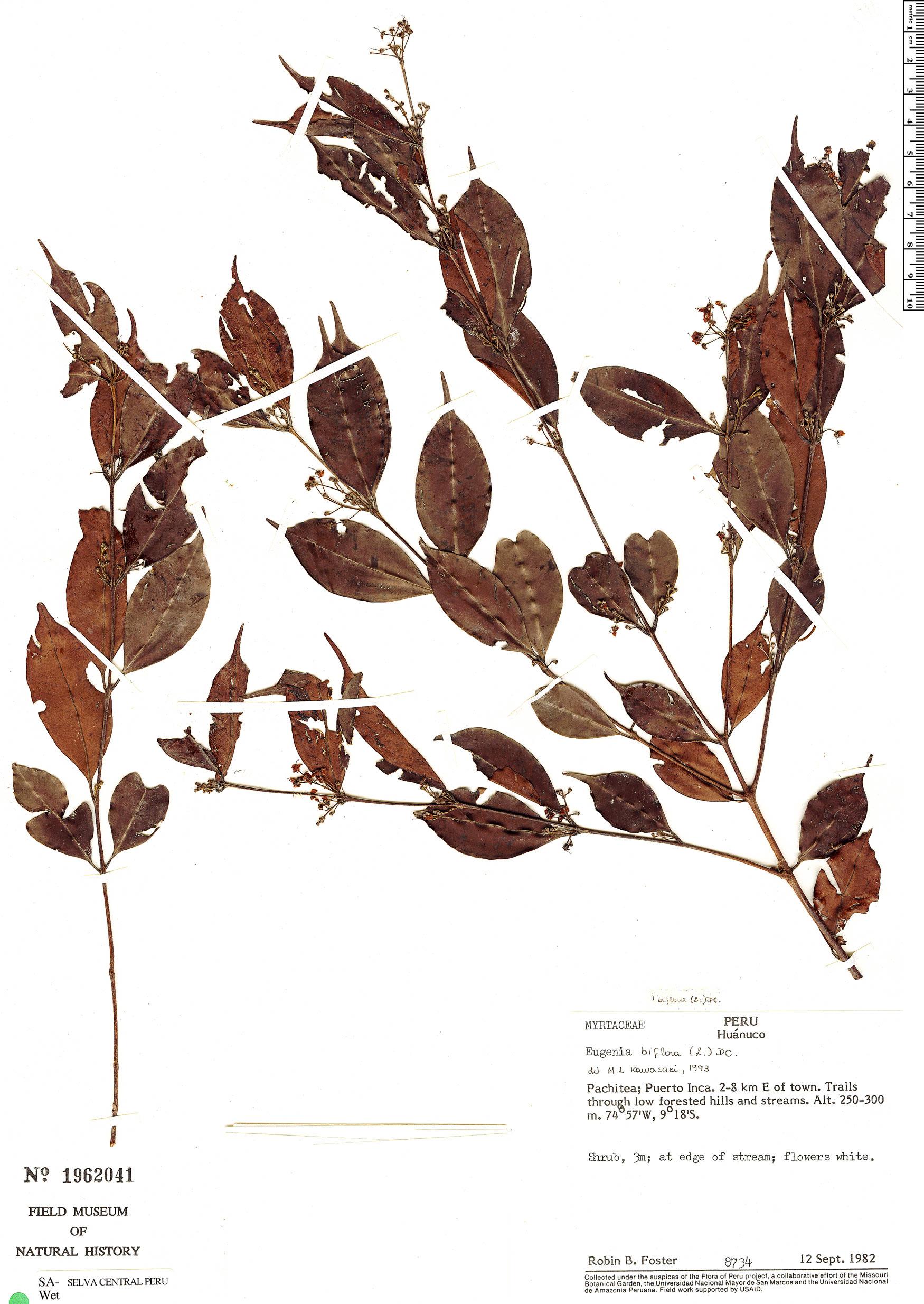 Specimen: Eugenia biflora