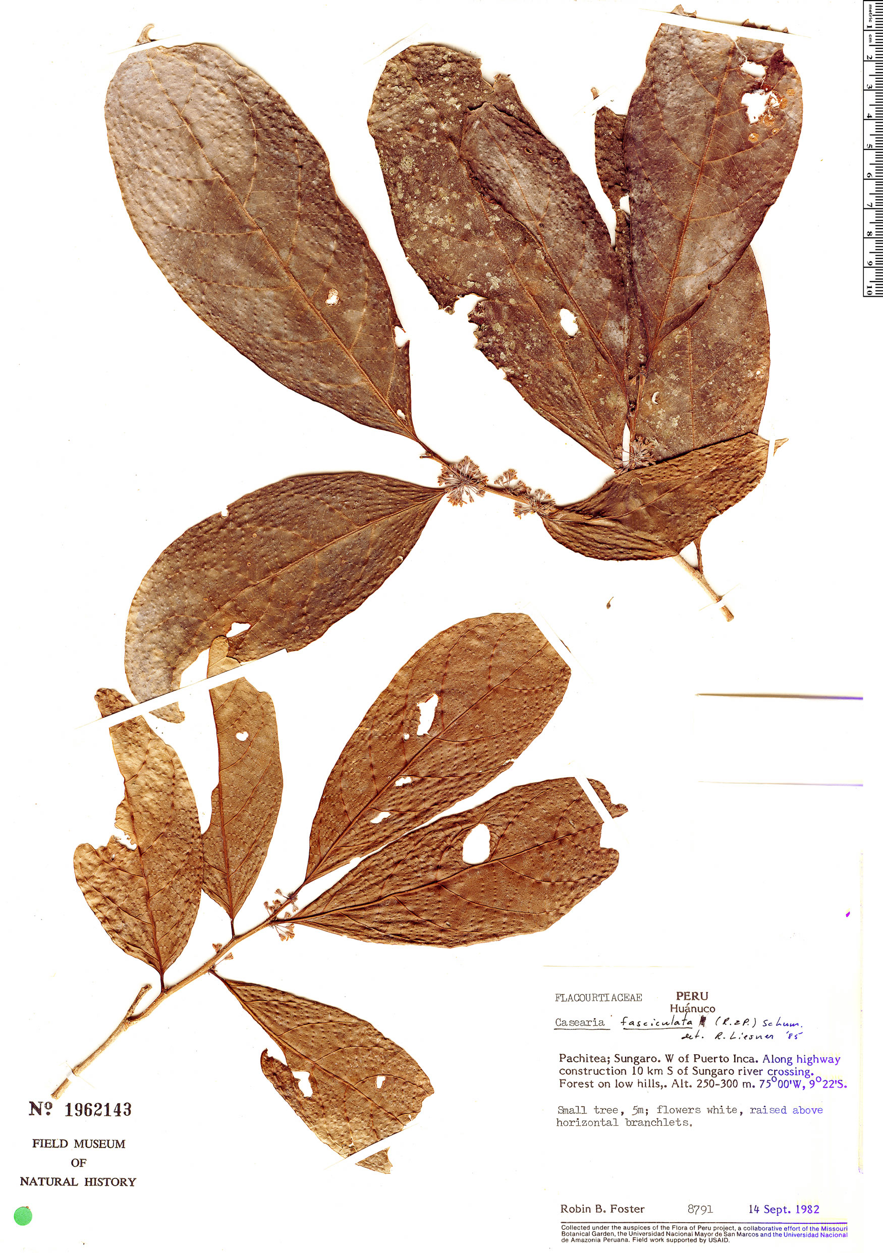 Specimen: Casearia fasciculata