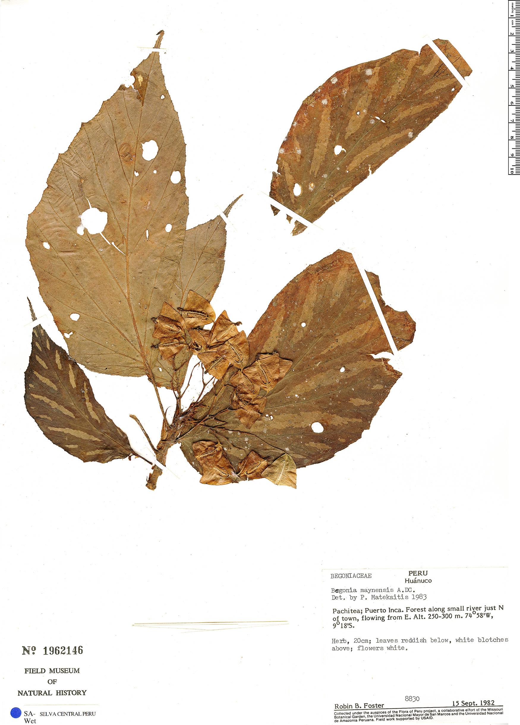 Espécimen: Begonia maynensis