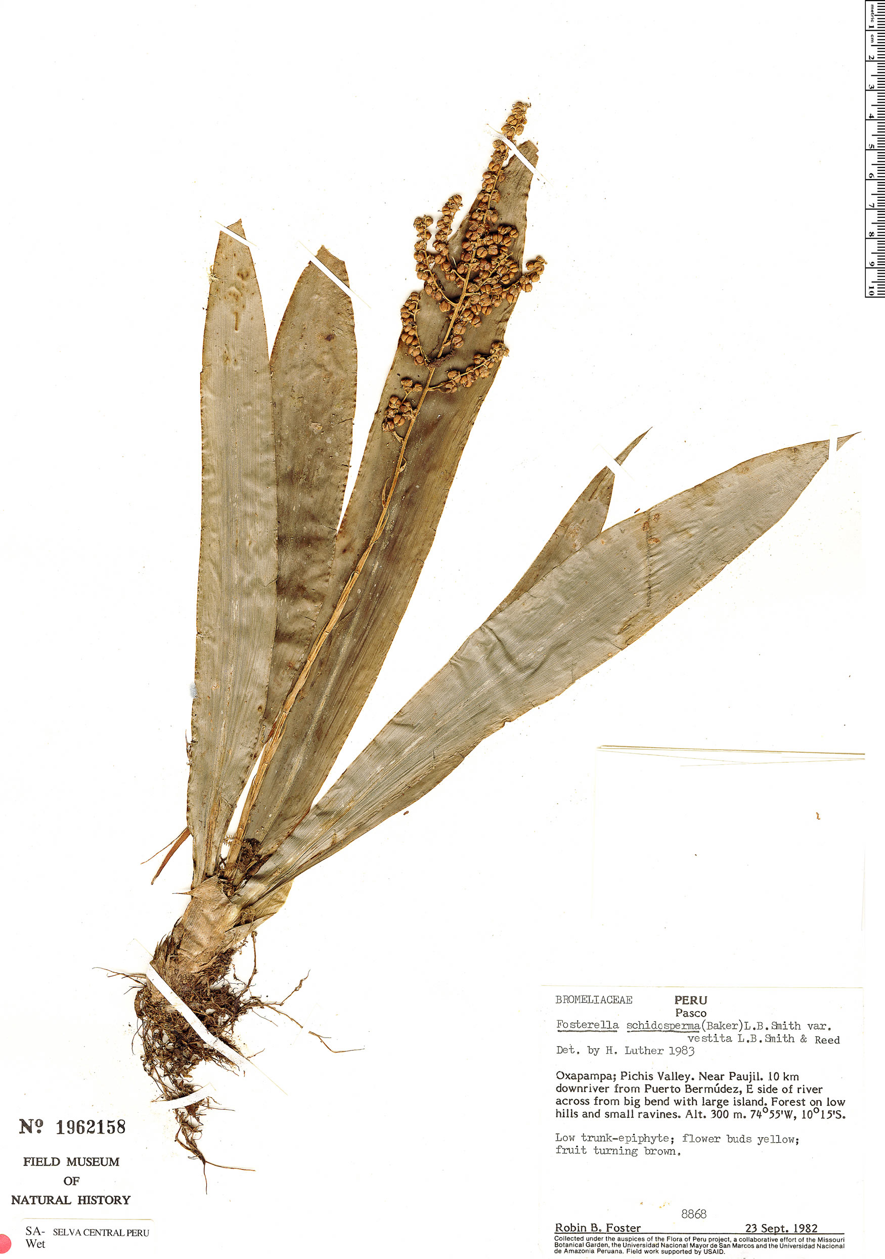Specimen: Fosterella nicoliana