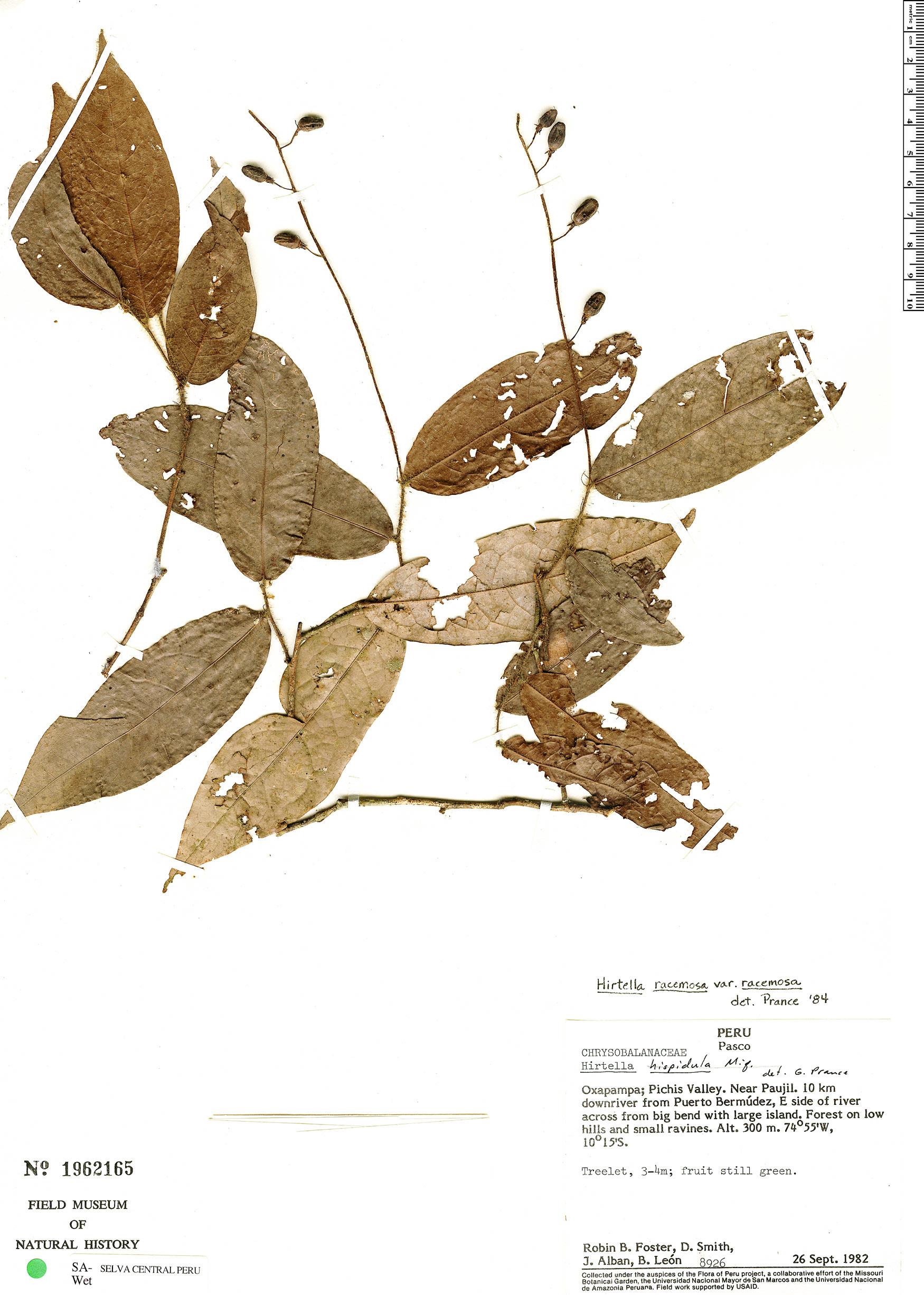Espécimen: Hirtella racemosa