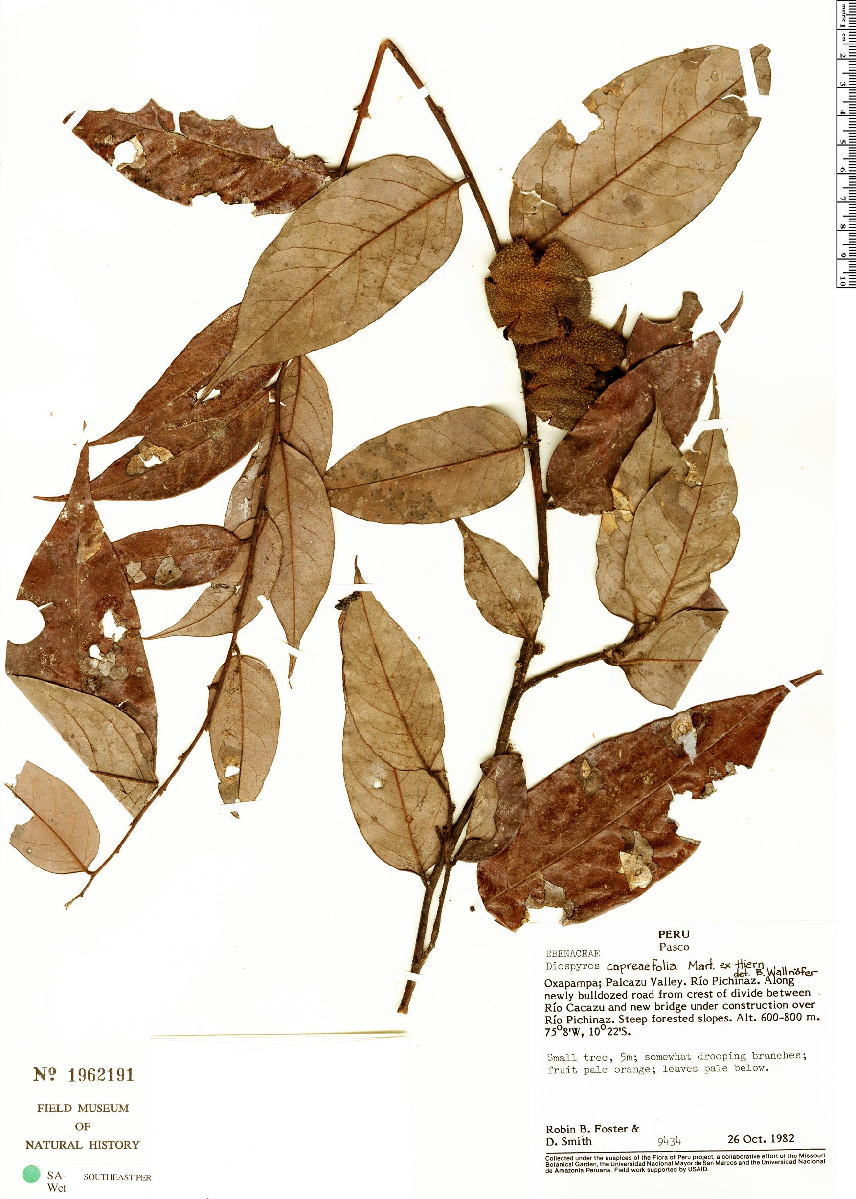 Specimen: Diospyros capreifolia