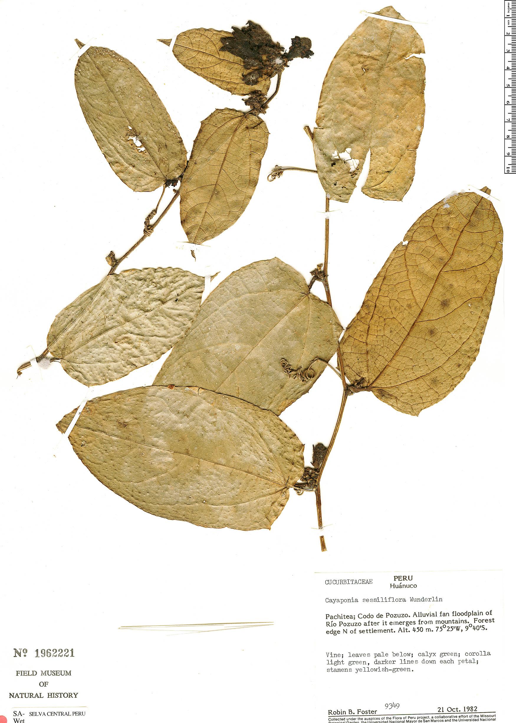 Specimen: Cayaponia sessiliflora