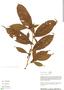 Casearia pitumba Sleumer, Peru, R. B. Foster 9288, F