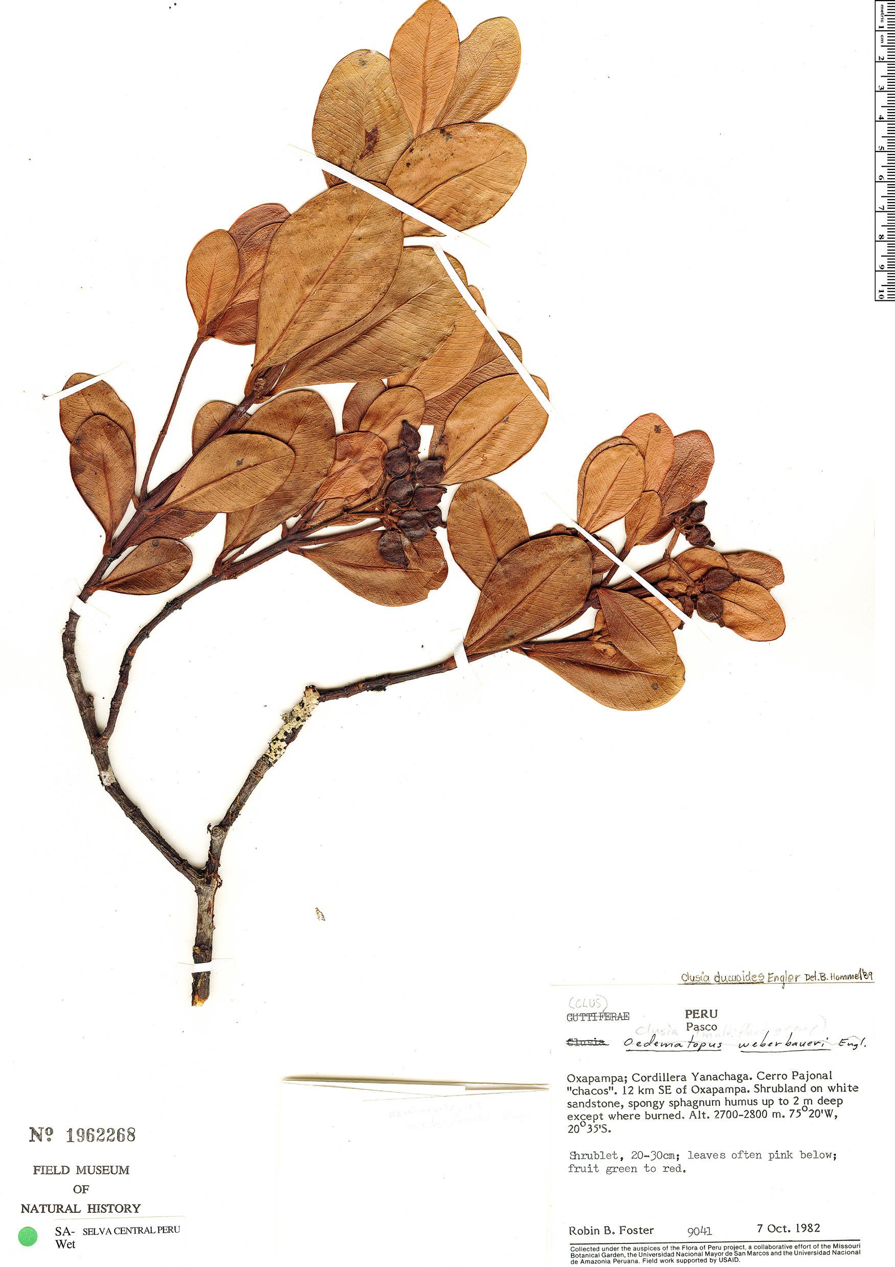 Espécime: Clusia ducuoides