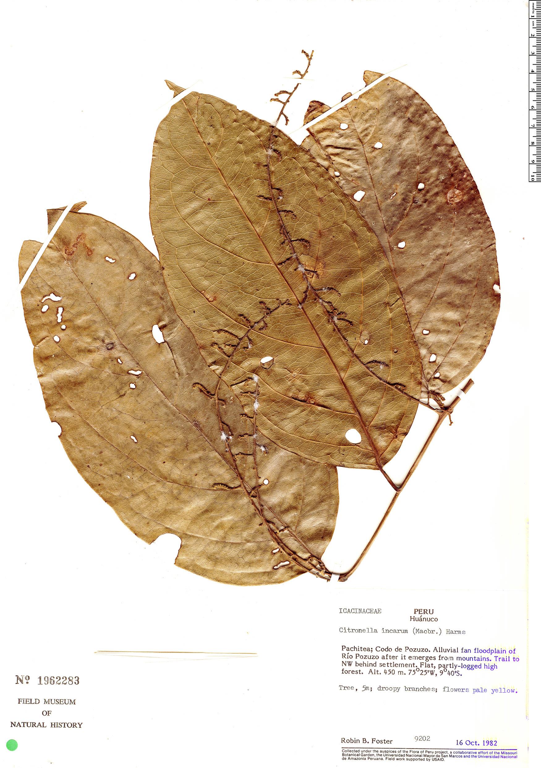Specimen: Citronella incarum