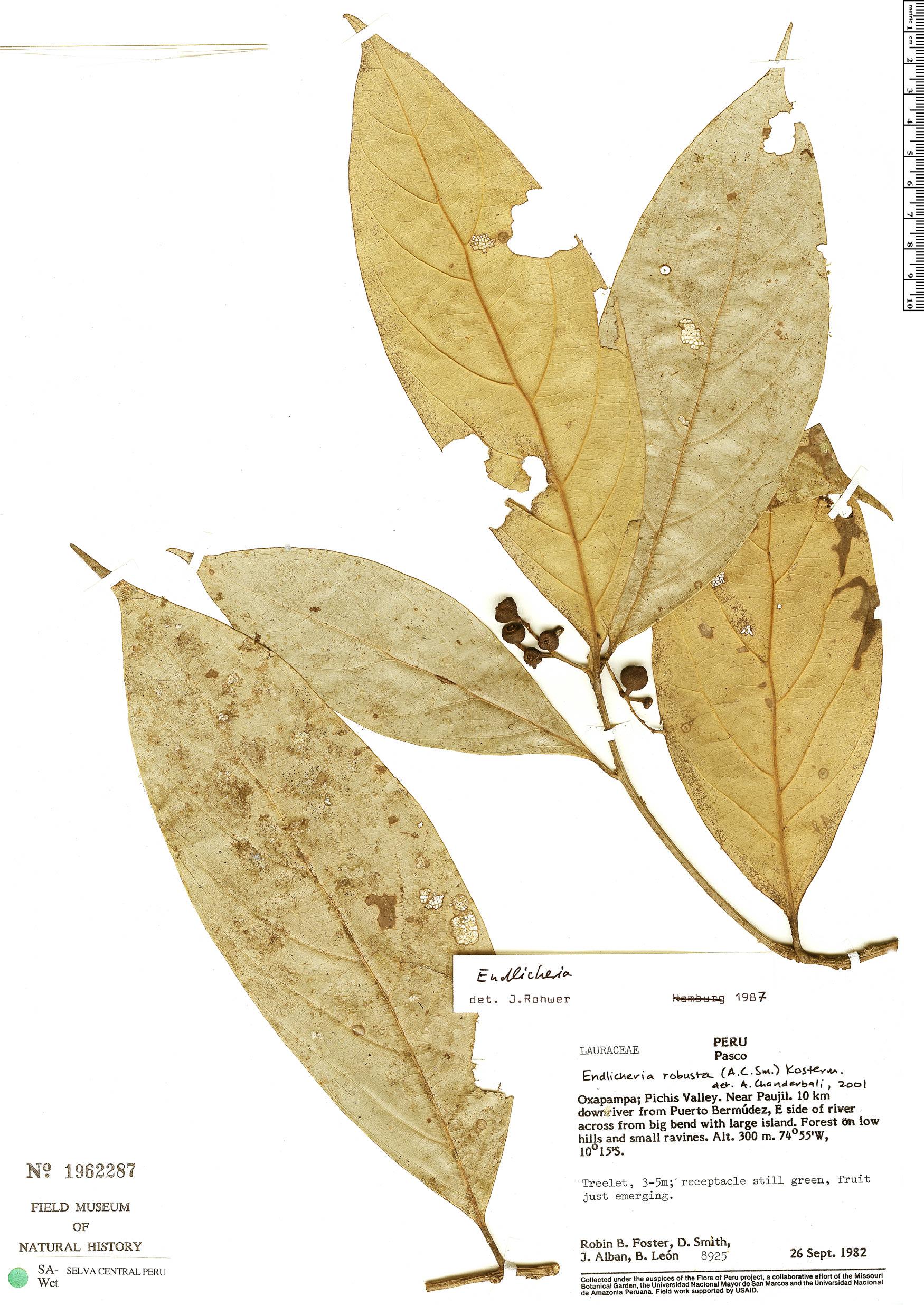 Specimen: Endlicheria robusta