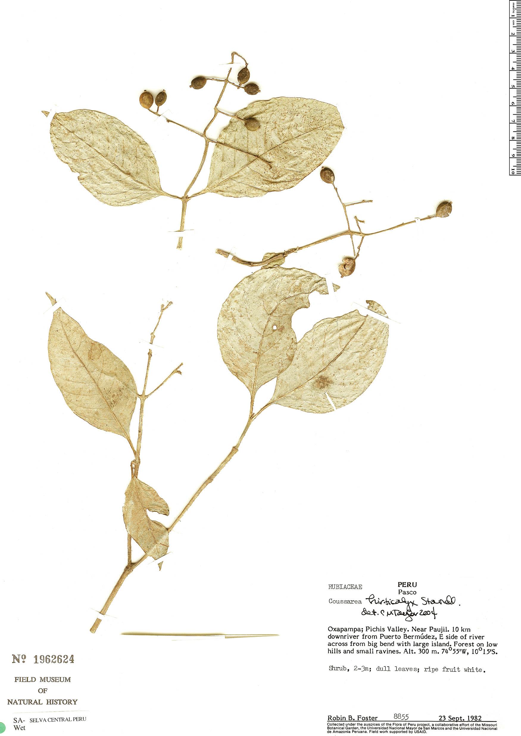 Specimen: Coussarea hirticalyx