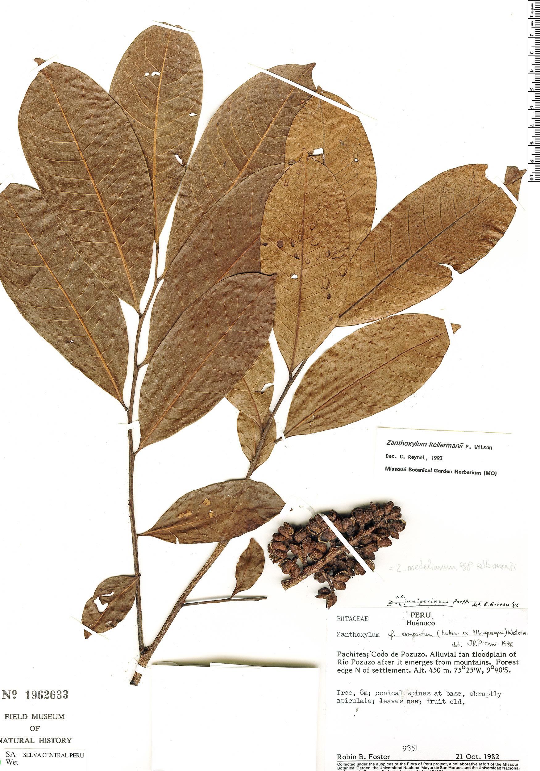 Specimen: Zanthoxylum riedelianum