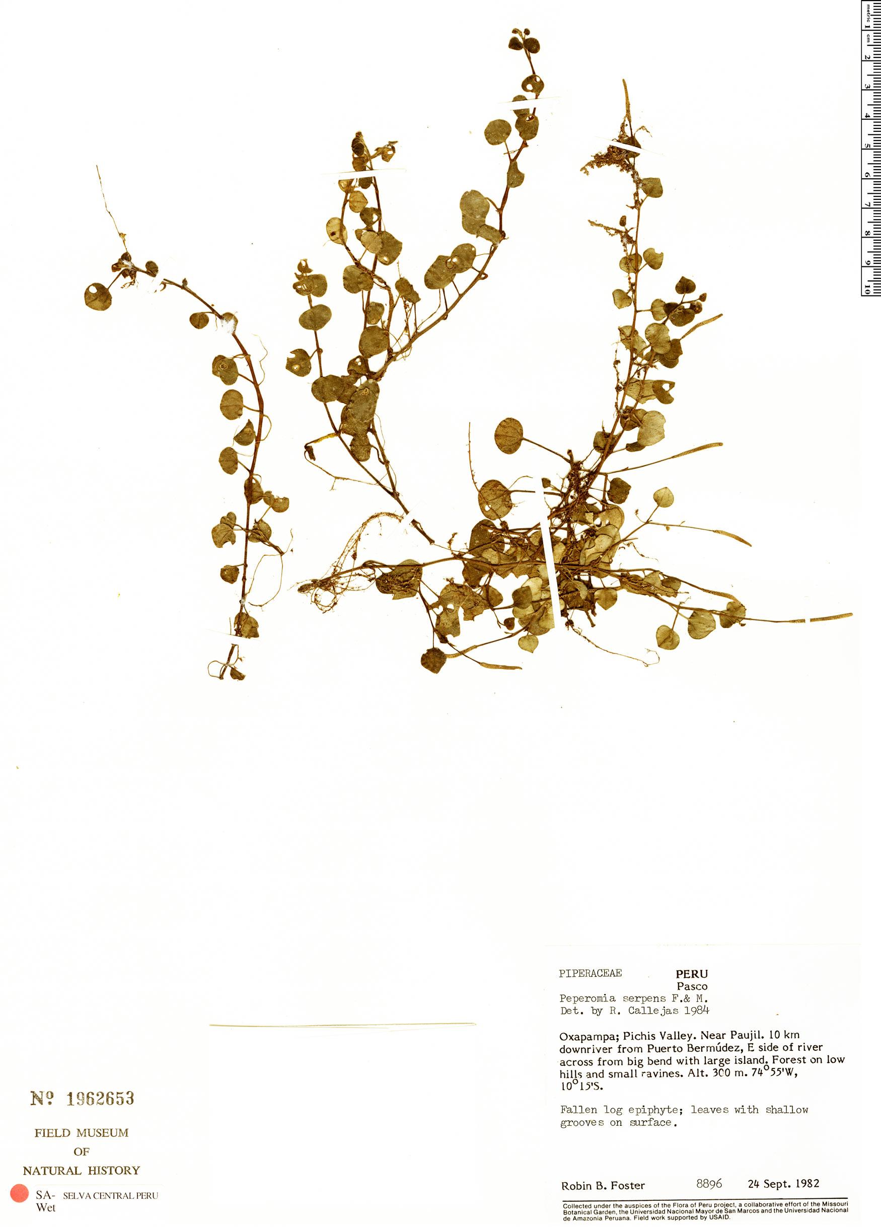 Specimen: Peperomia serpens