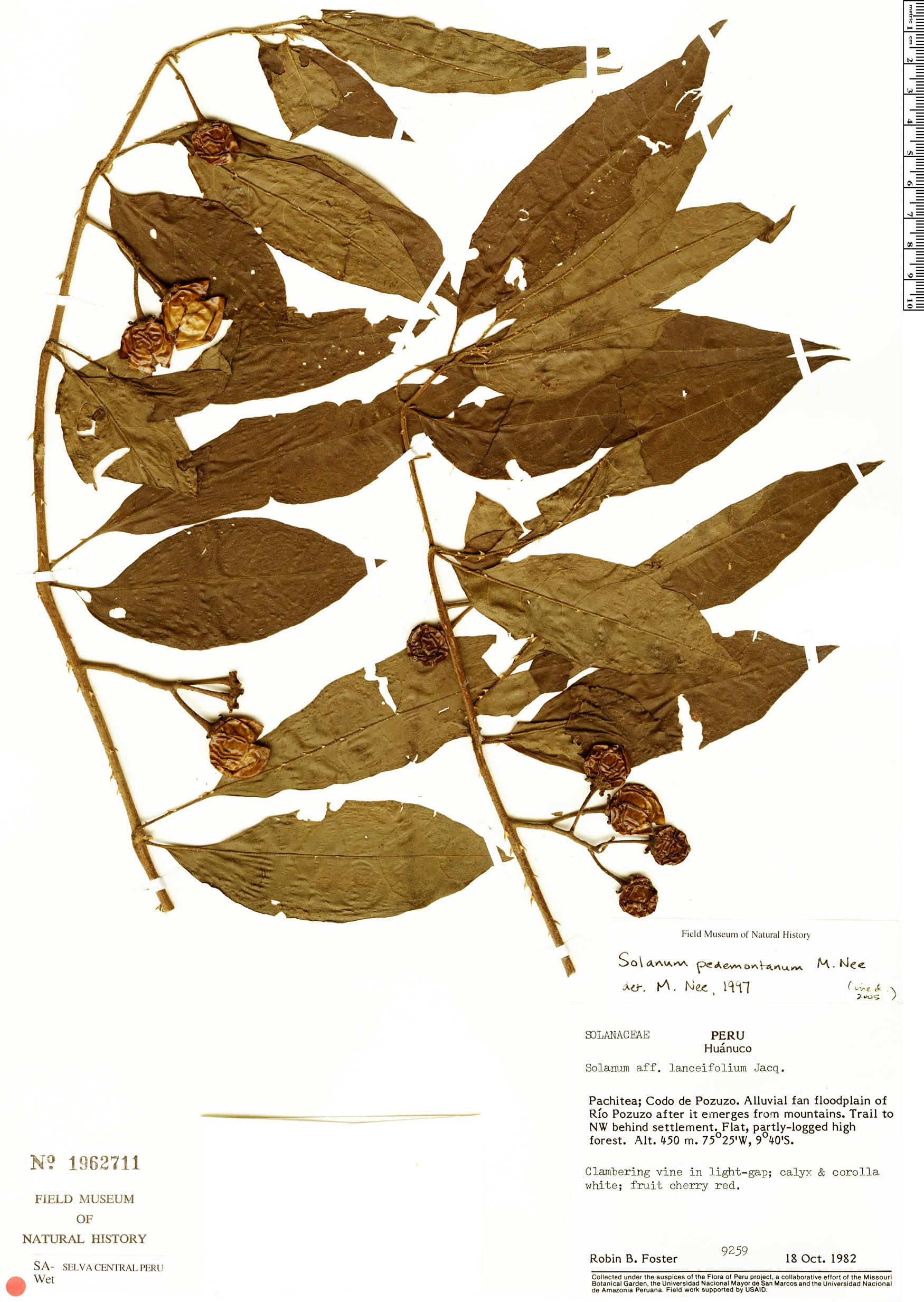 Specimen: Solanum pedemontanum