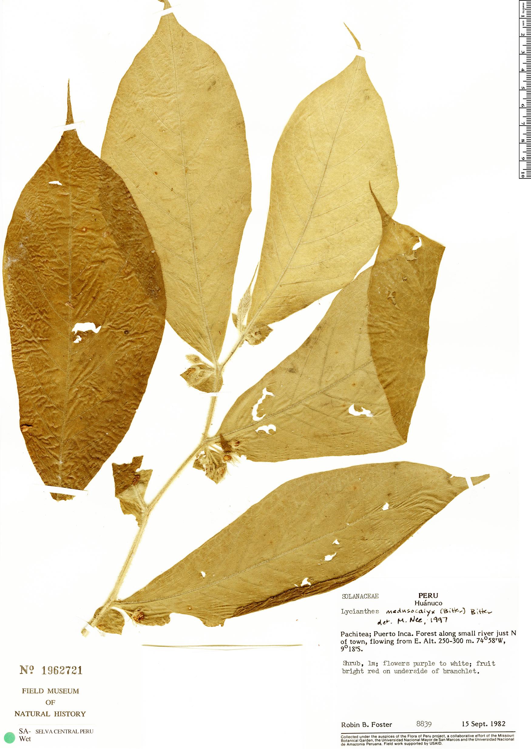 Espécimen: Lycianthes medusocalyx