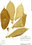 Lycianthes medusocalyx, Peru, R. B. Foster 8839, F