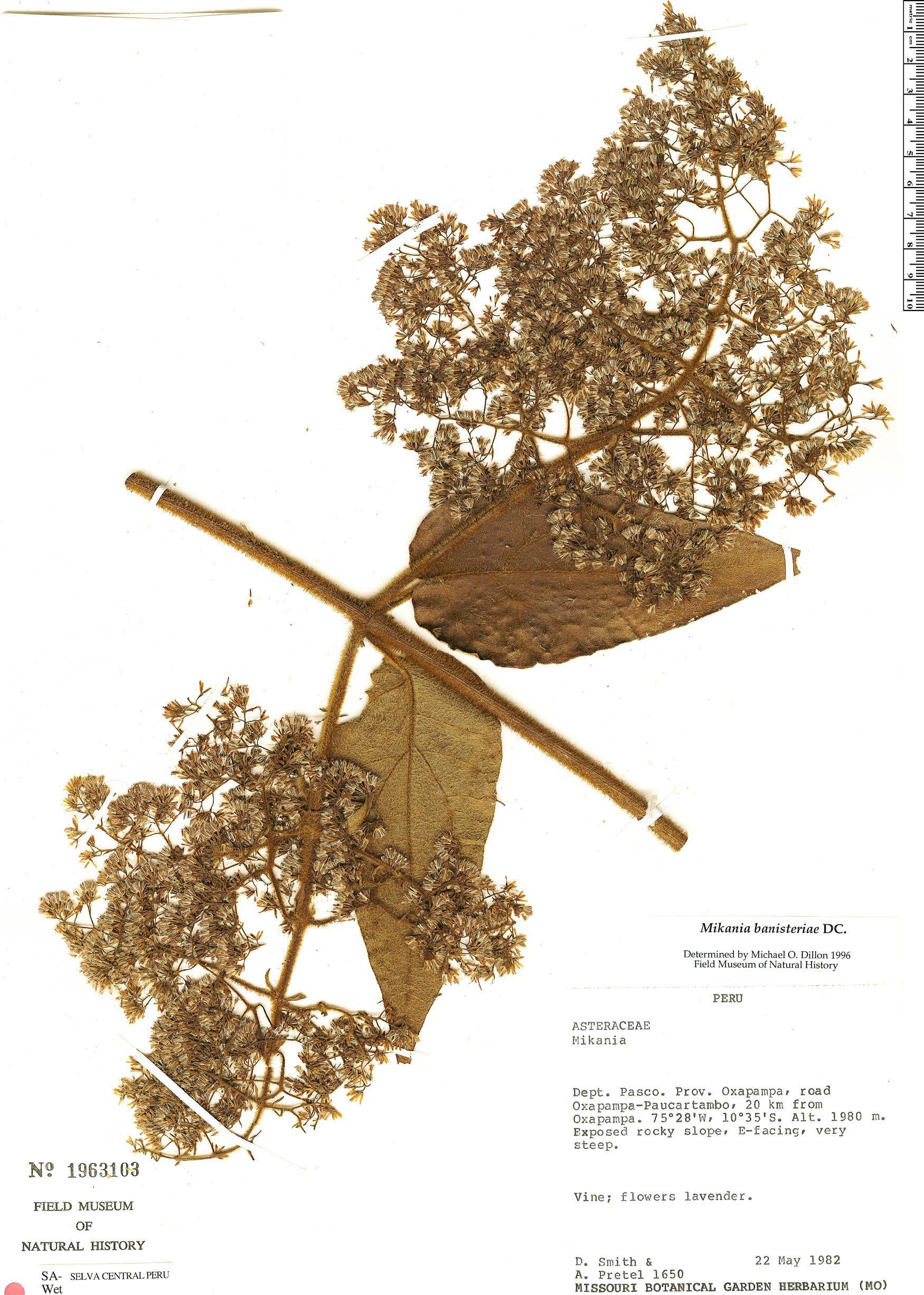 Specimen: Mikania banisteriae