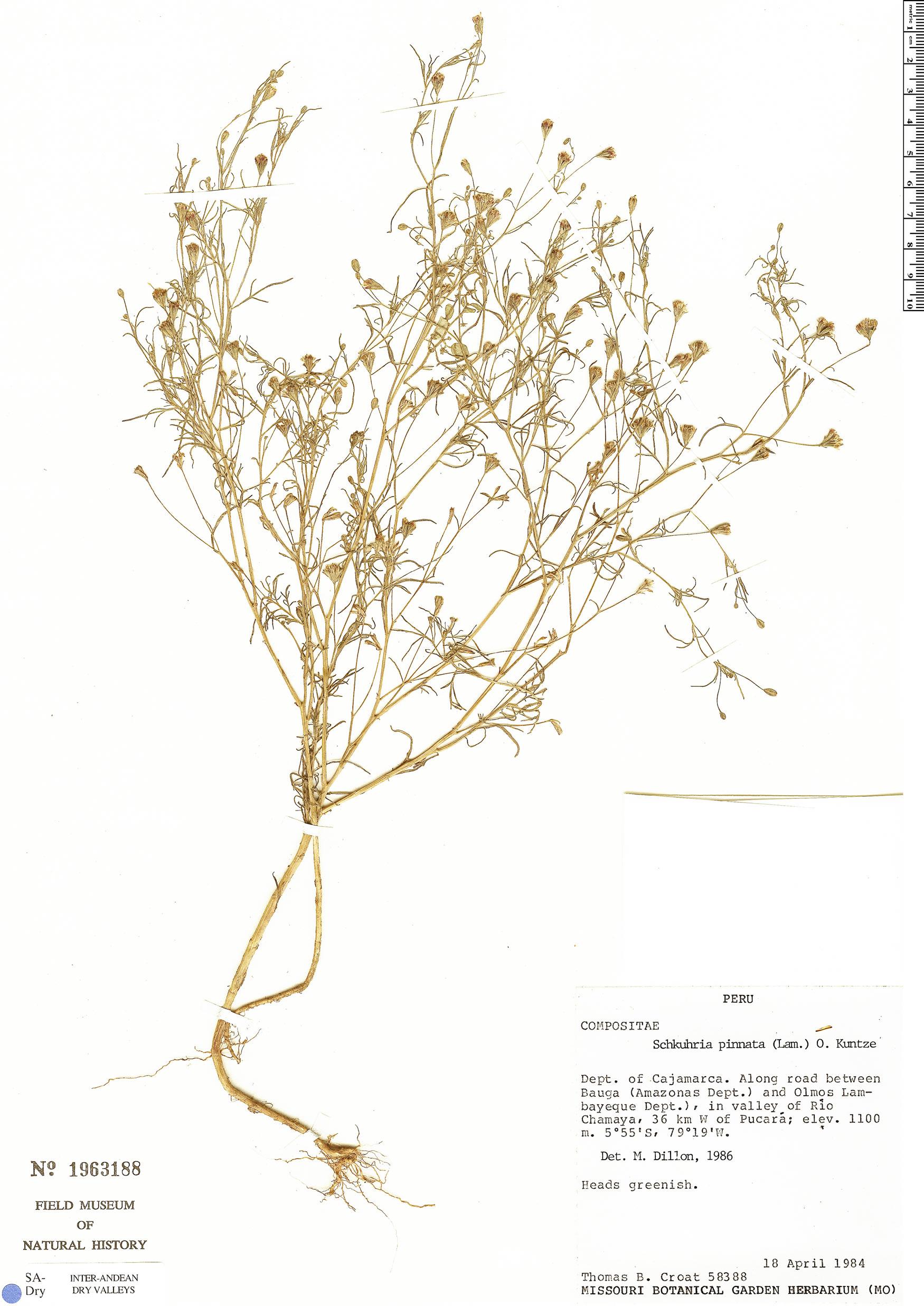 Specimen: Schkuhria pinnata