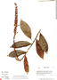 Sarcopera sessiliflora, W. C. Burger 11719, F