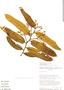 Virola surinamensis Warb., Ecuador, D. A. Neill 6673, F