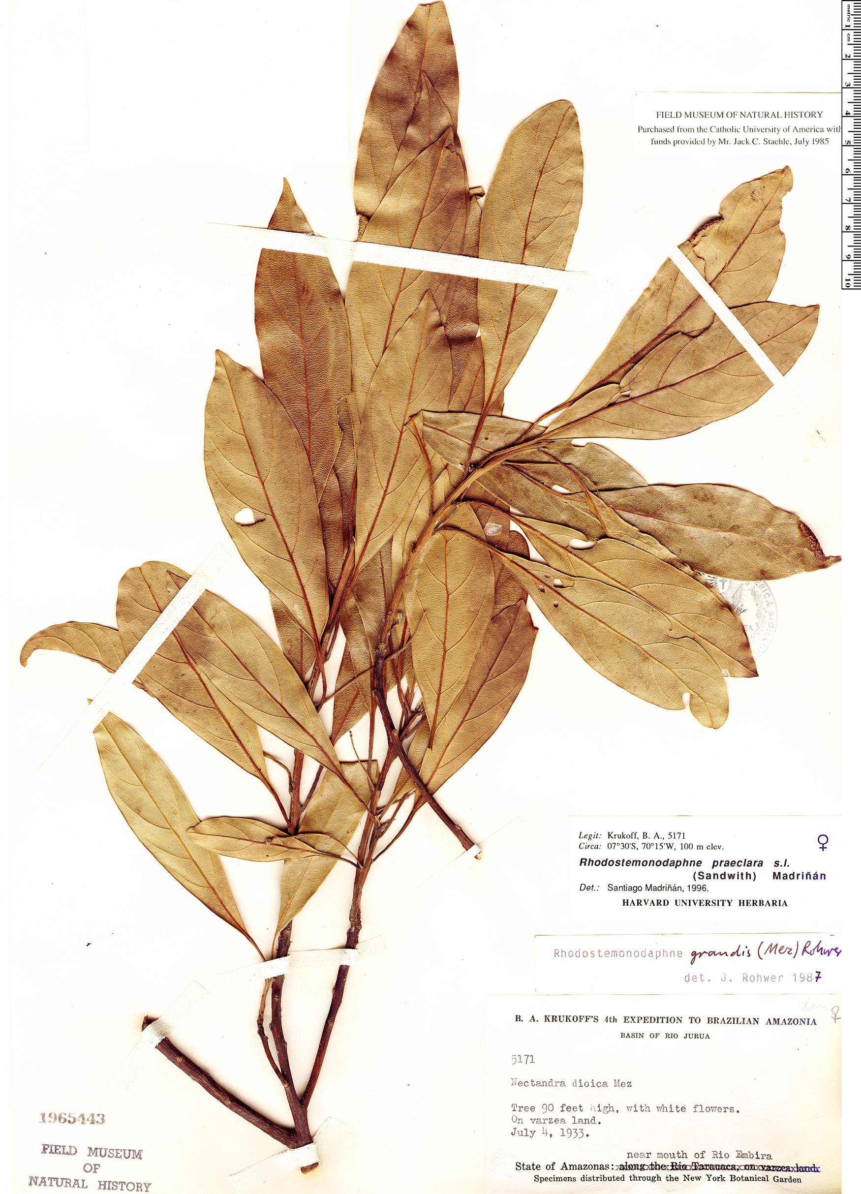 Specimen: Rhodostemonodaphne praeclara