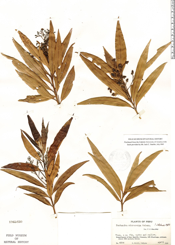 Specimen: Nectandra microcarpa