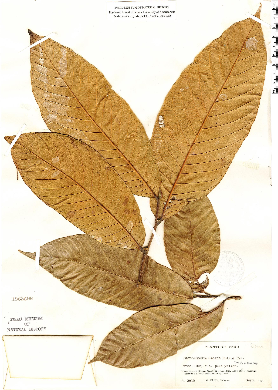 Specimen: Pseudolmedia laevis