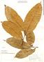 Pseudolmedia laevis, Peru, G. Klug 3819, F
