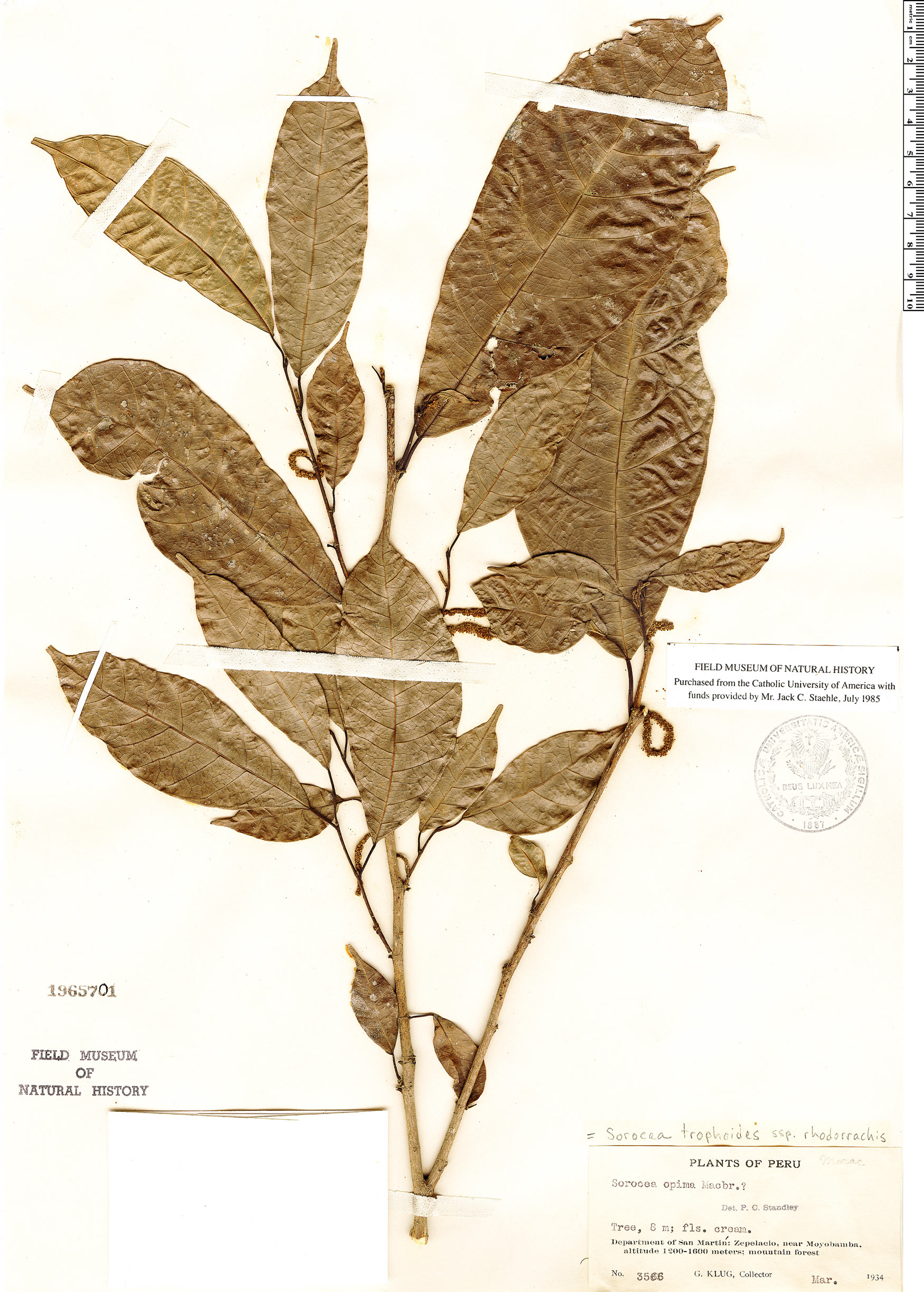 Specimen: Sorocea trophoides