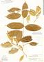 Chrysophyllum argenteum image
