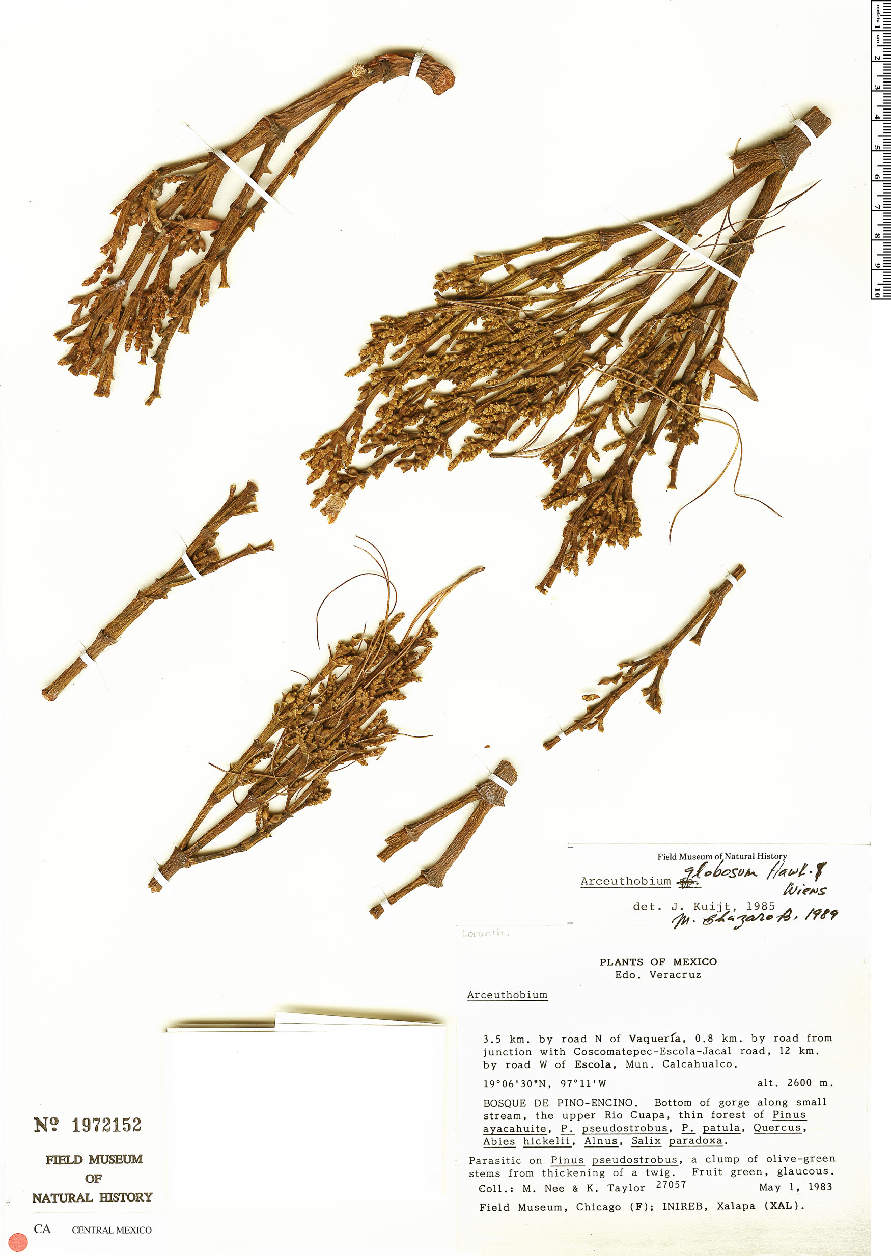 Arceuthobium globosum image