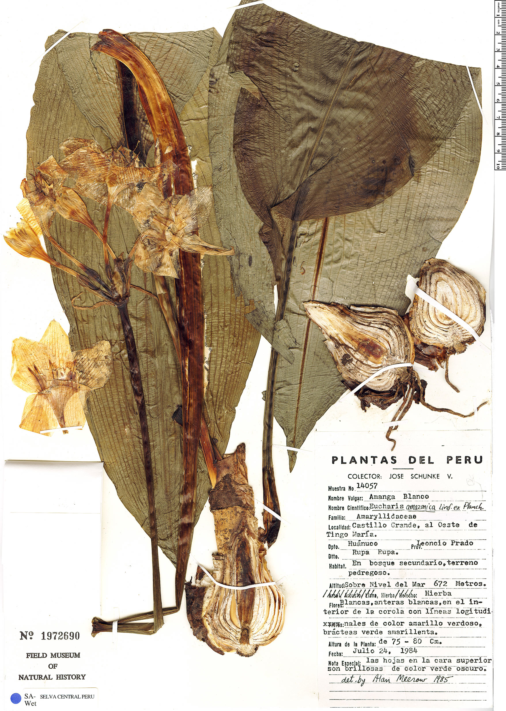 Specimen: Eucharis amazonica