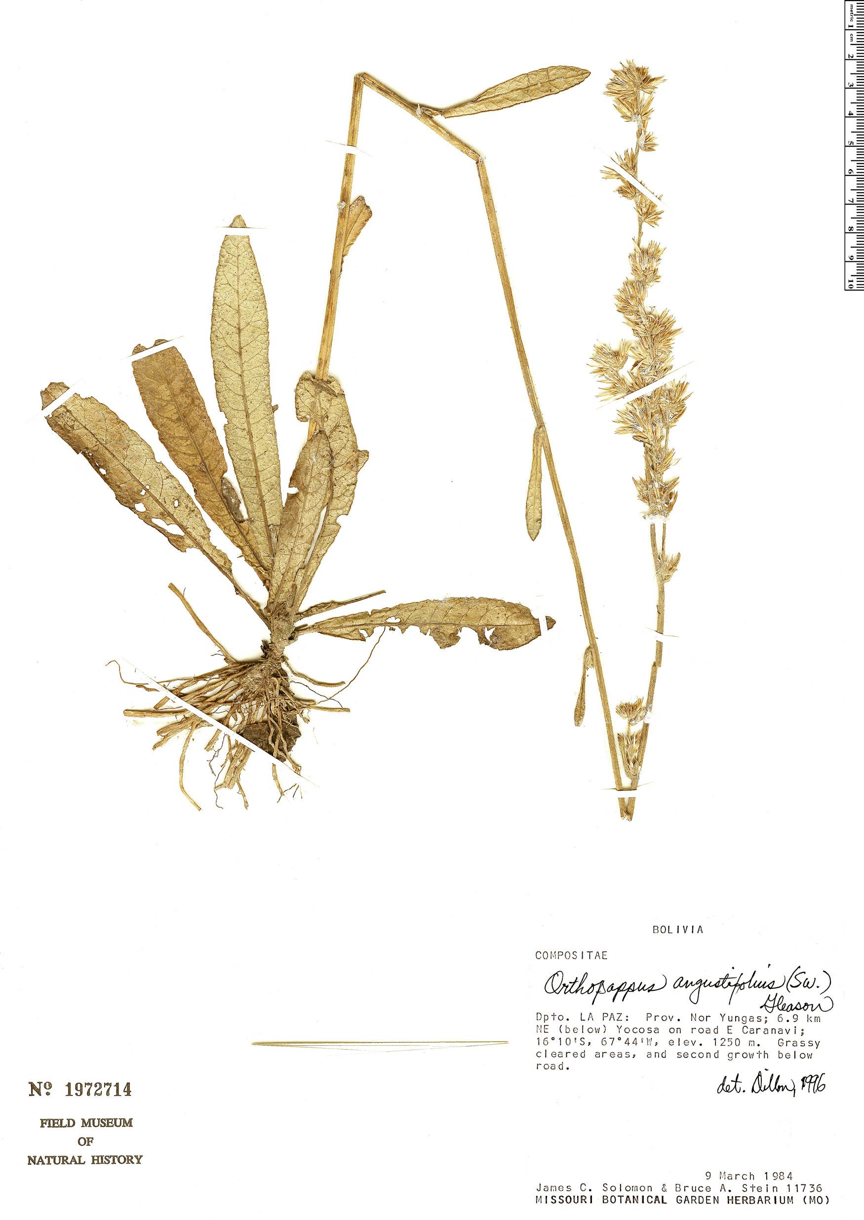 Espécime: Orthopappus angustifolius
