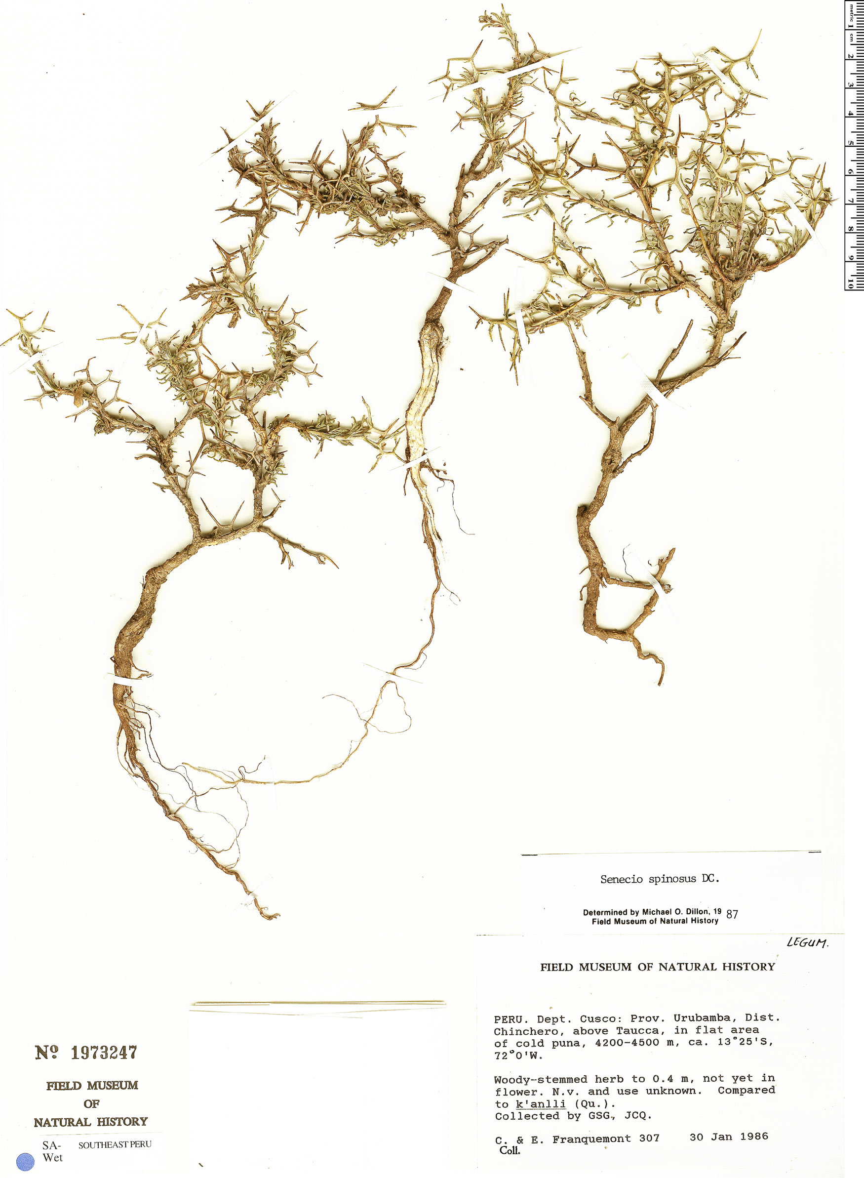 Specimen: Senecio spinosus