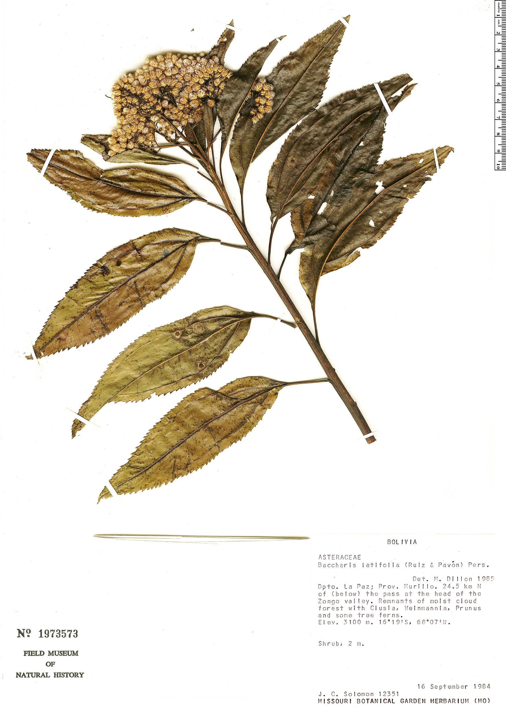 Specimen: Baccharis latifolia