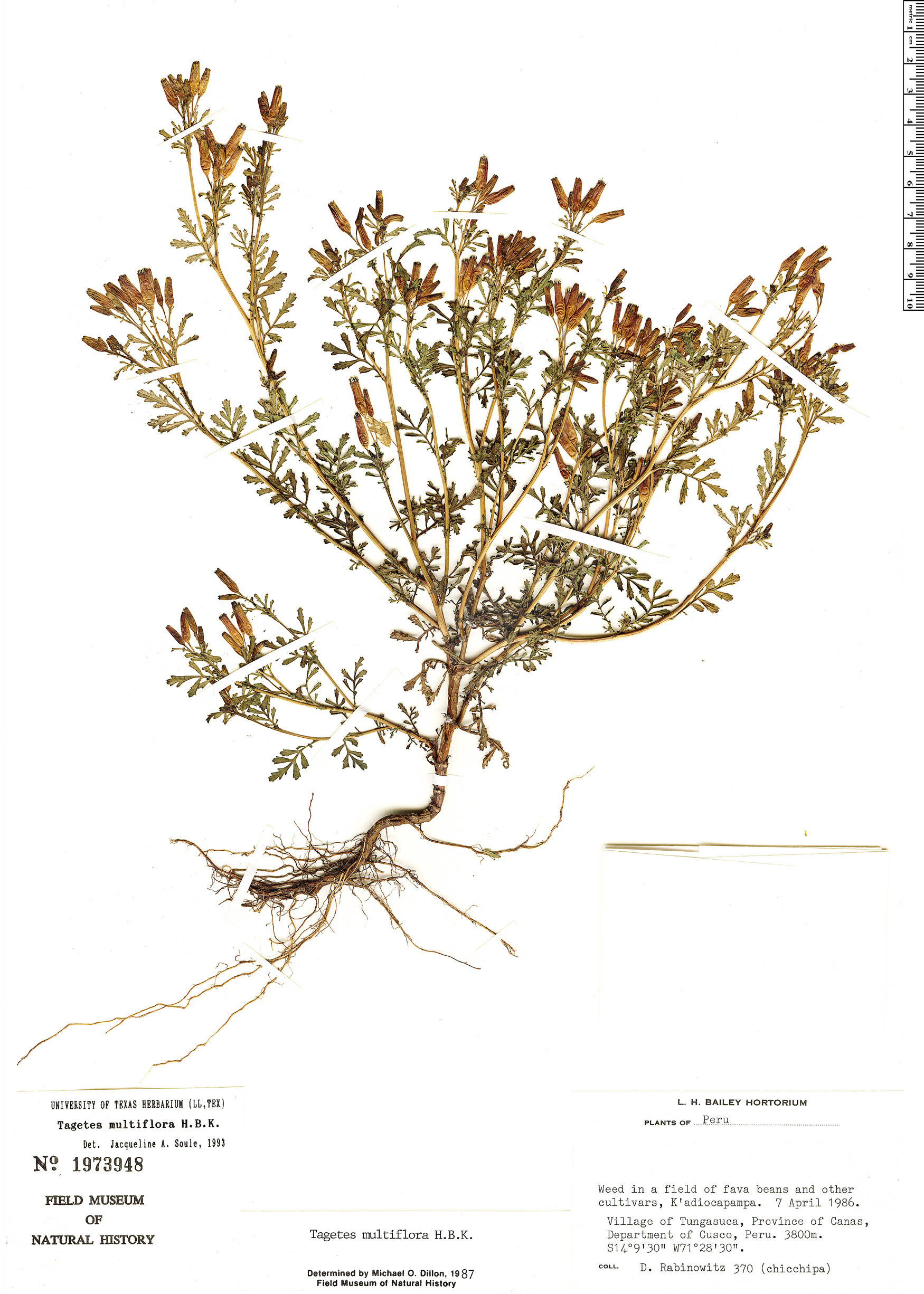 Espécime: Tagetes multiflora