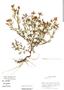 Tagetes multiflora image