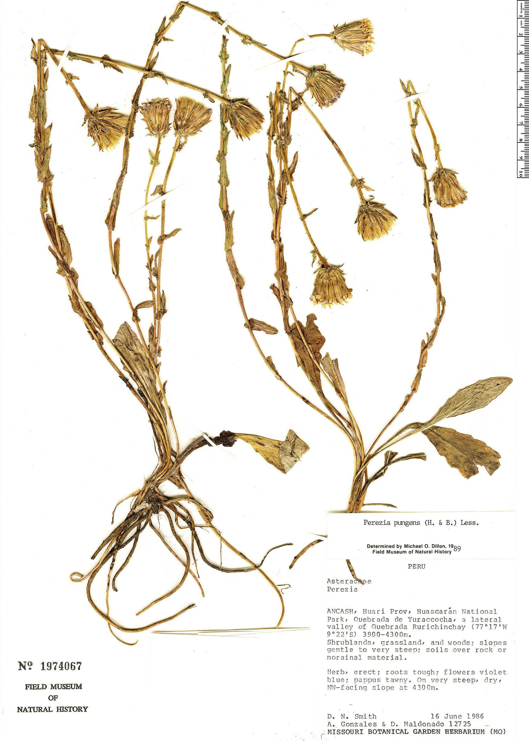 Espécimen: Perezia pungens