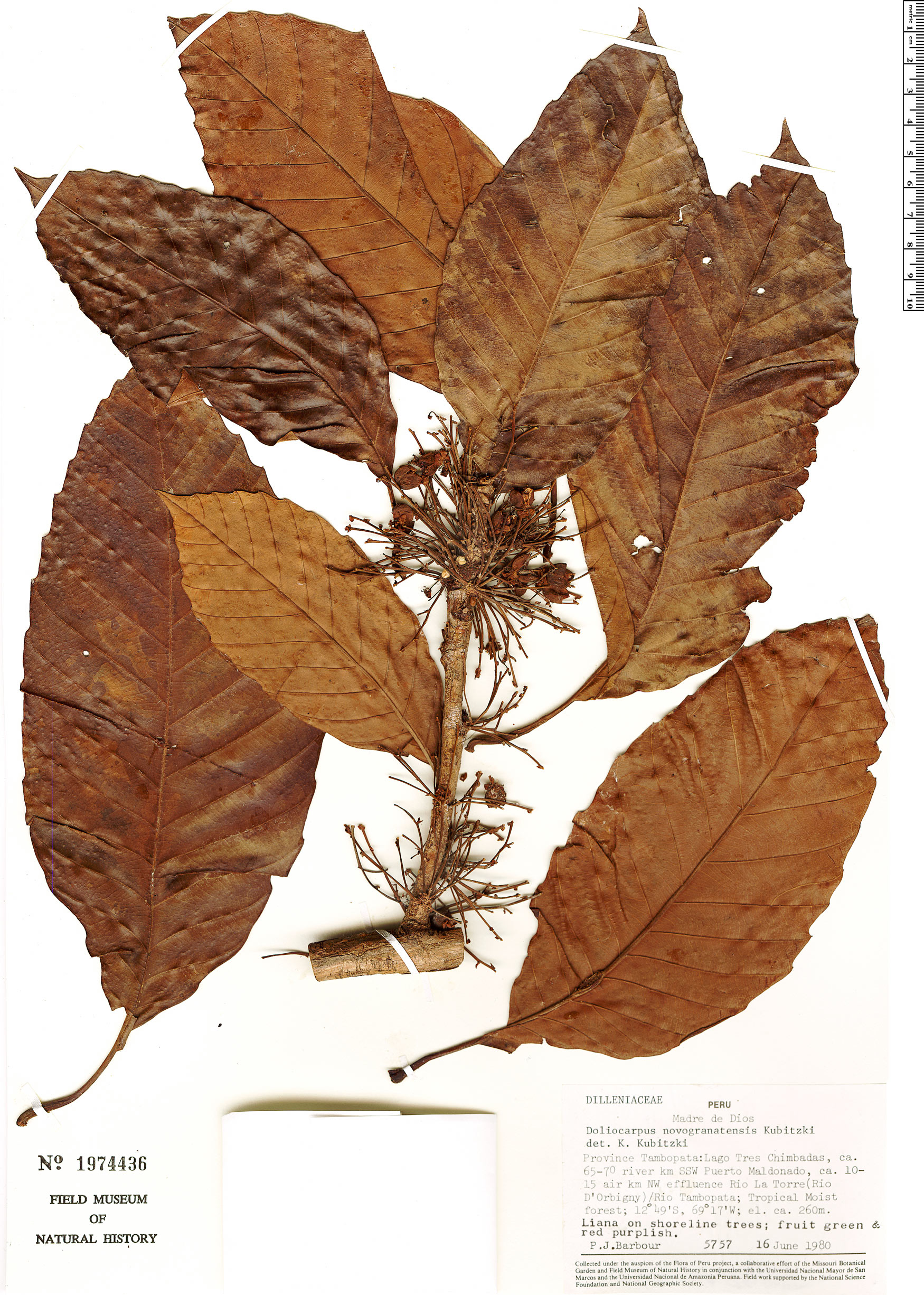 Specimen: Doliocarpus novogranatensis