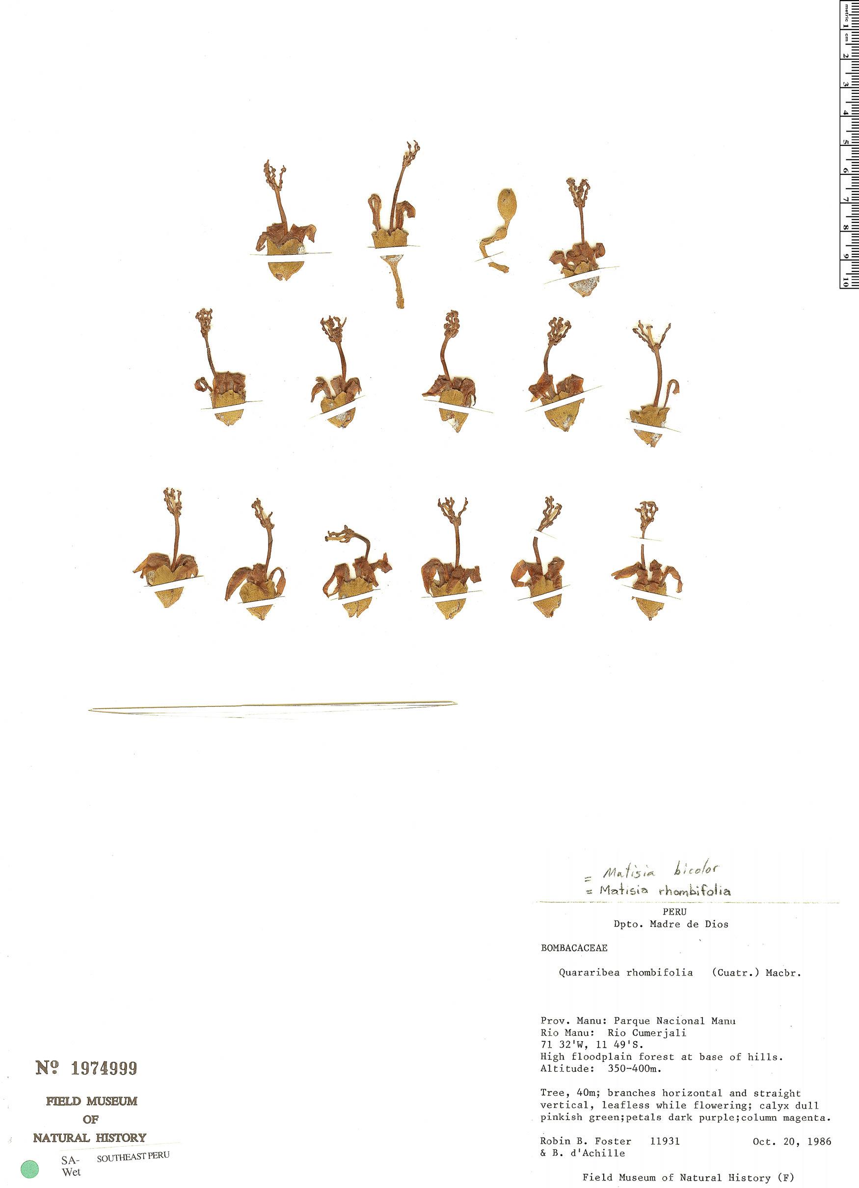 Espécimen: Matisia bicolor