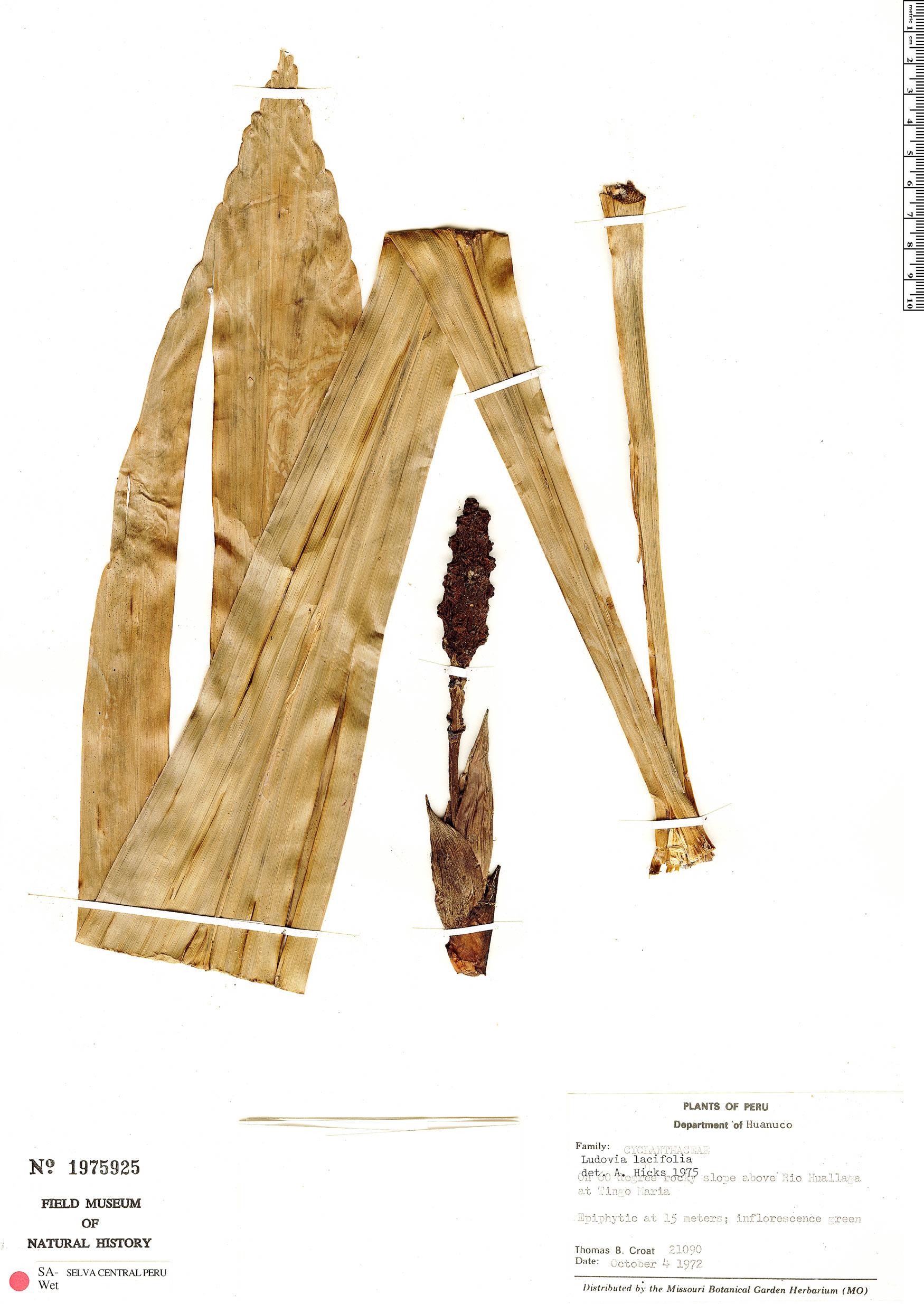 Specimen: Ludovia lancifolia