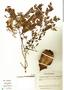 Jacaranda caucana subsp. sandwithiana A. H. Gentry, Costa Rica, J. Gómez-Laurito 10823, F