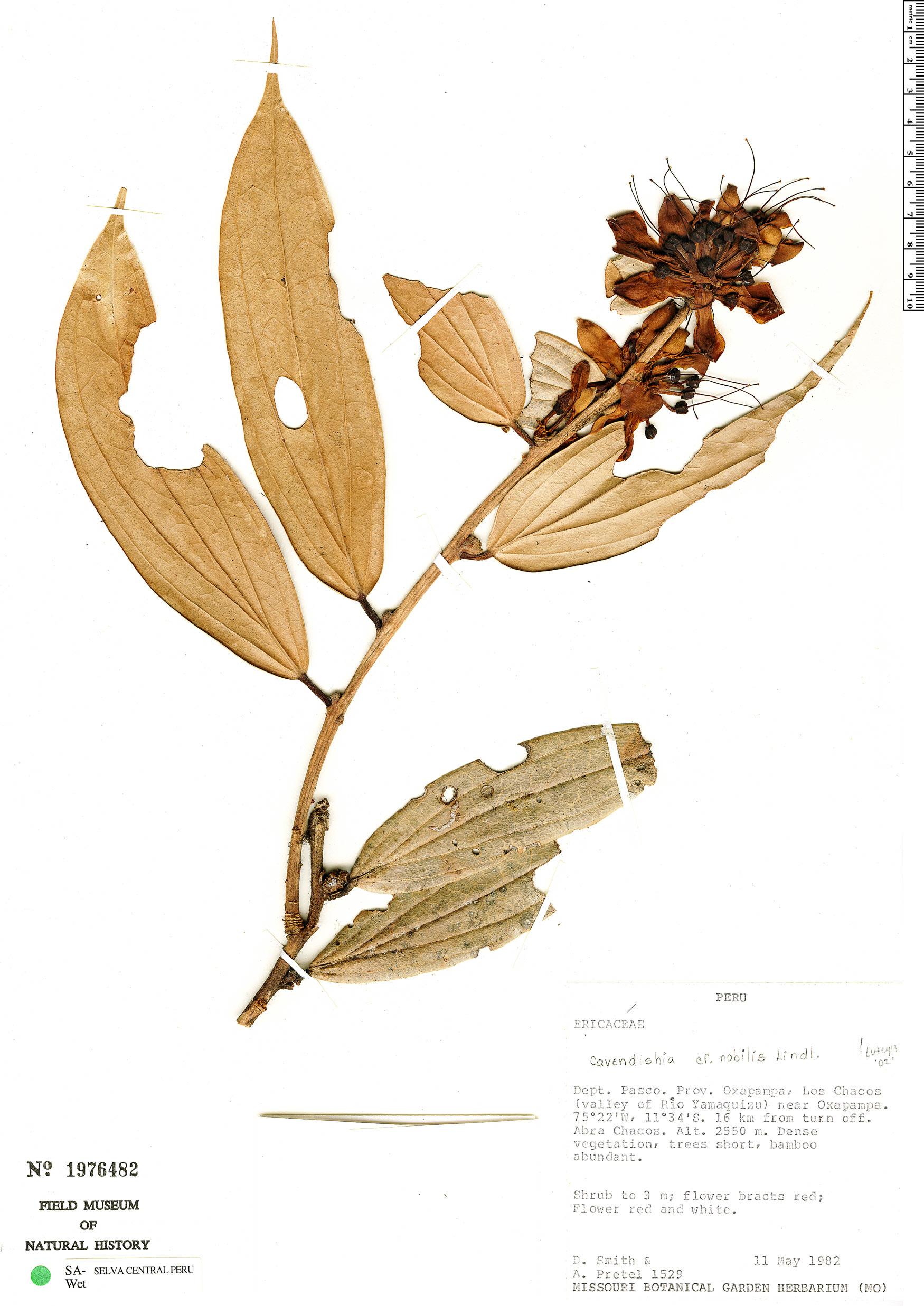 Specimen: Cavendishia nobilis