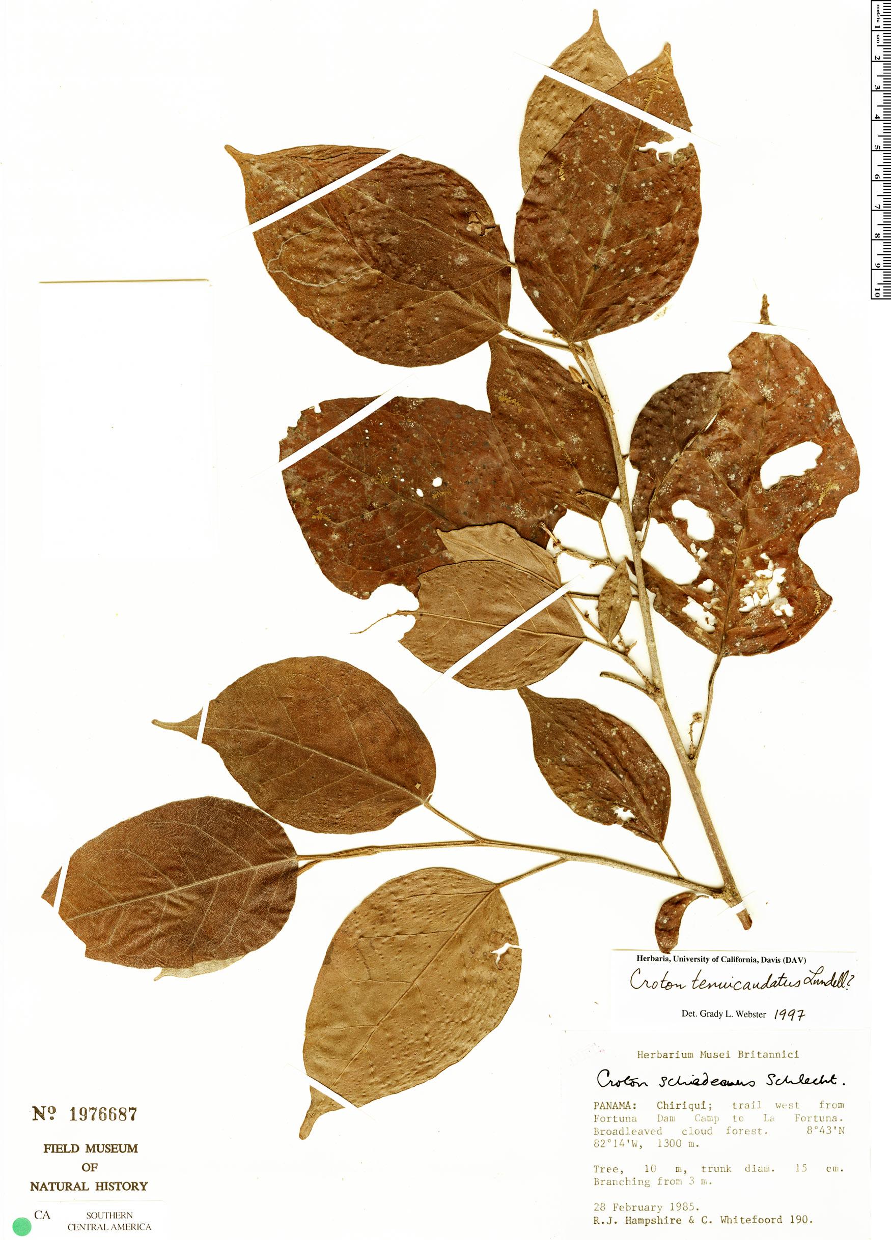 Specimen: Croton tenuicaudatus