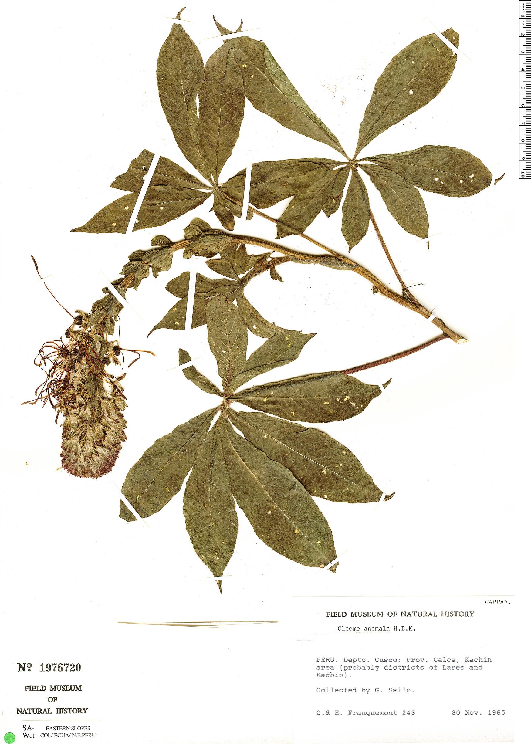 Espécime: Cleome lechleri