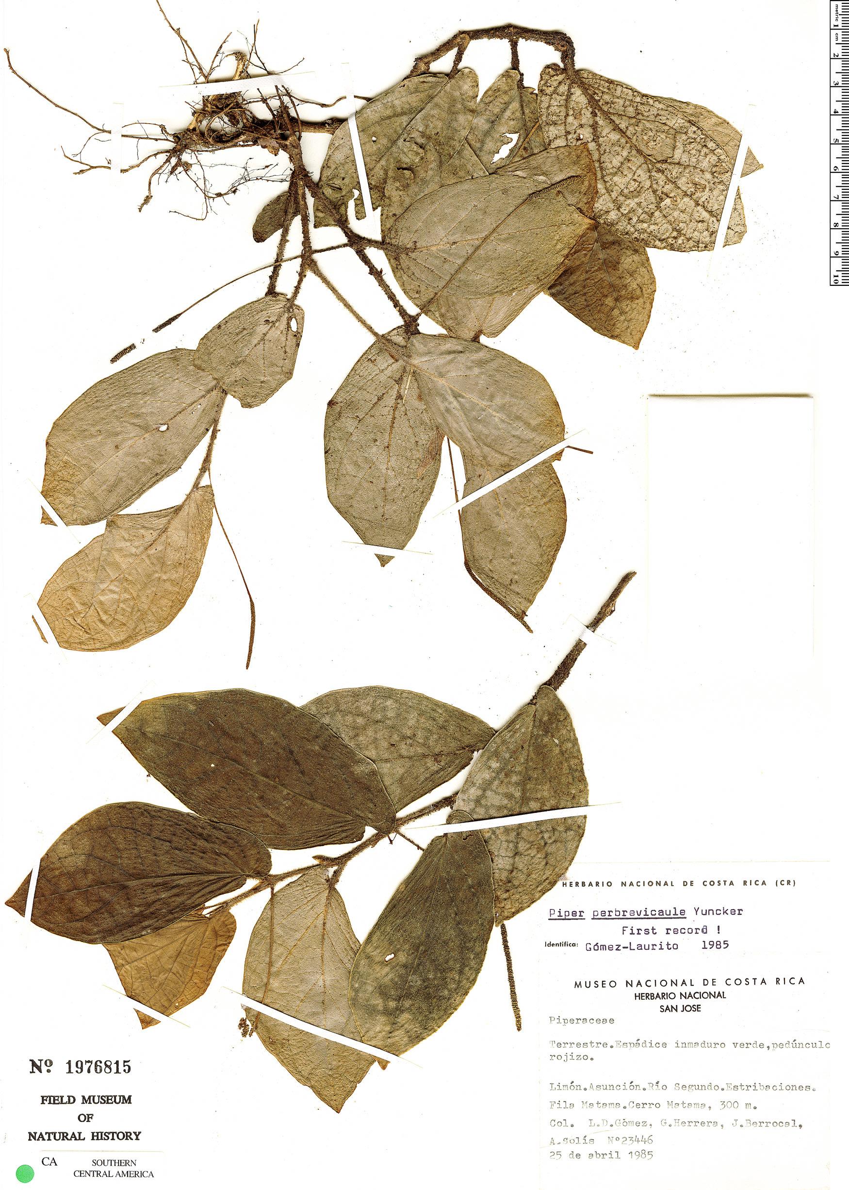 Espécime: Piper perbrevicaule