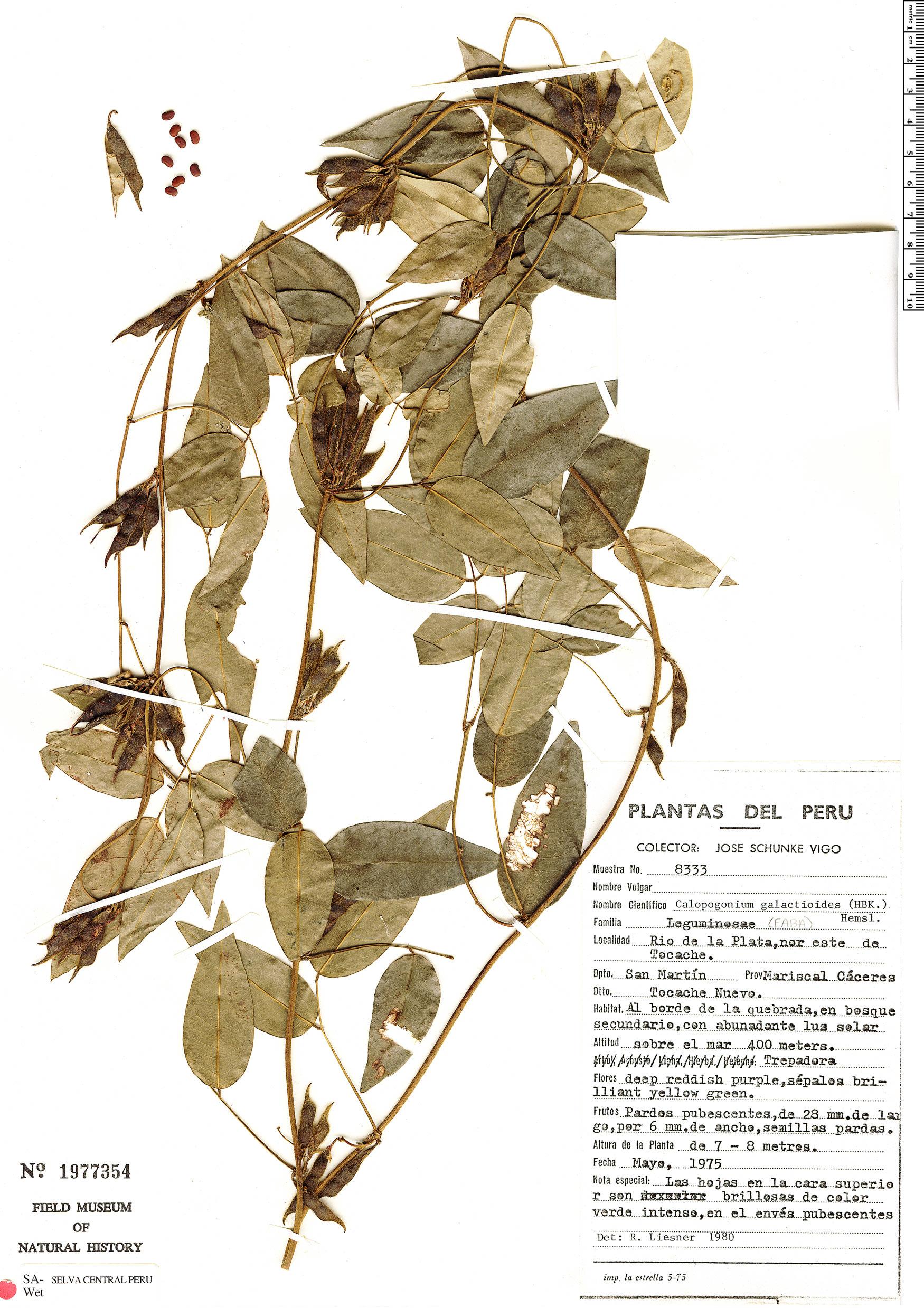 Specimen: Calopogonium galactioides