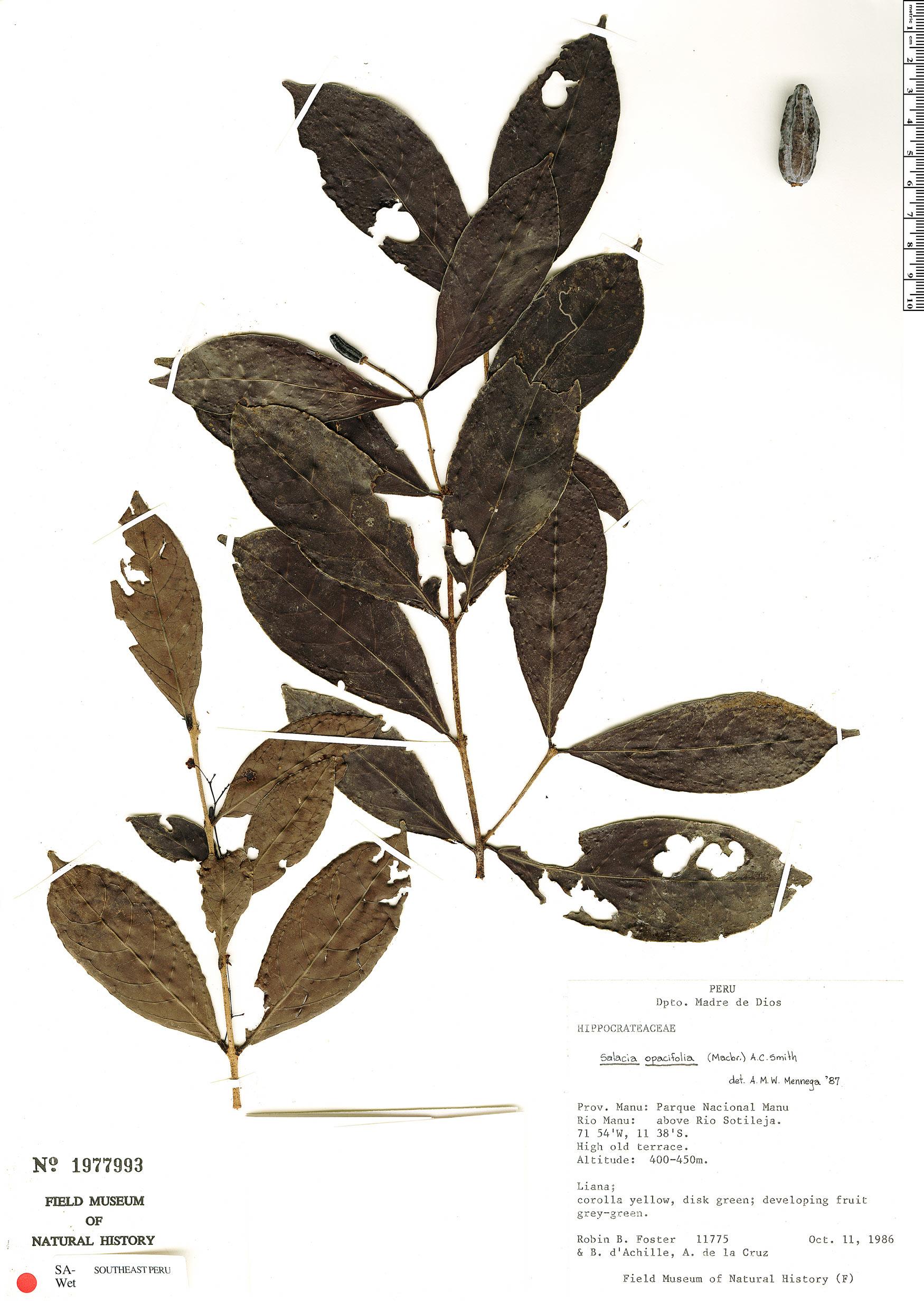 Specimen: Salacia opacifolia