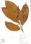 Helicostylis tomentosa, Peru, R. B. Foster 11768, F