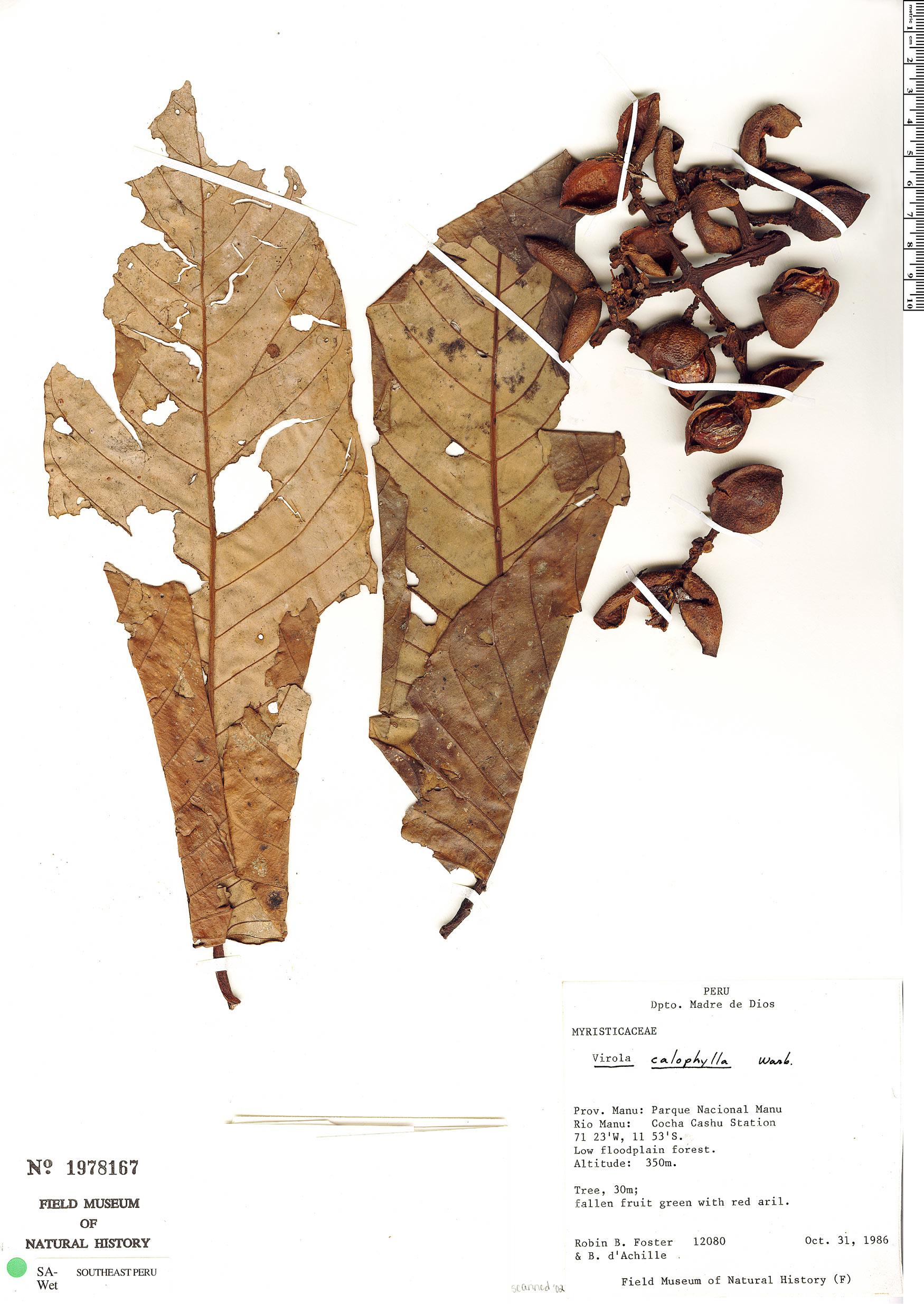 Specimen: Virola calophylla