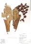 Virola calophylla (Spruce) Warb., Peru, R. B. Foster 12080, F