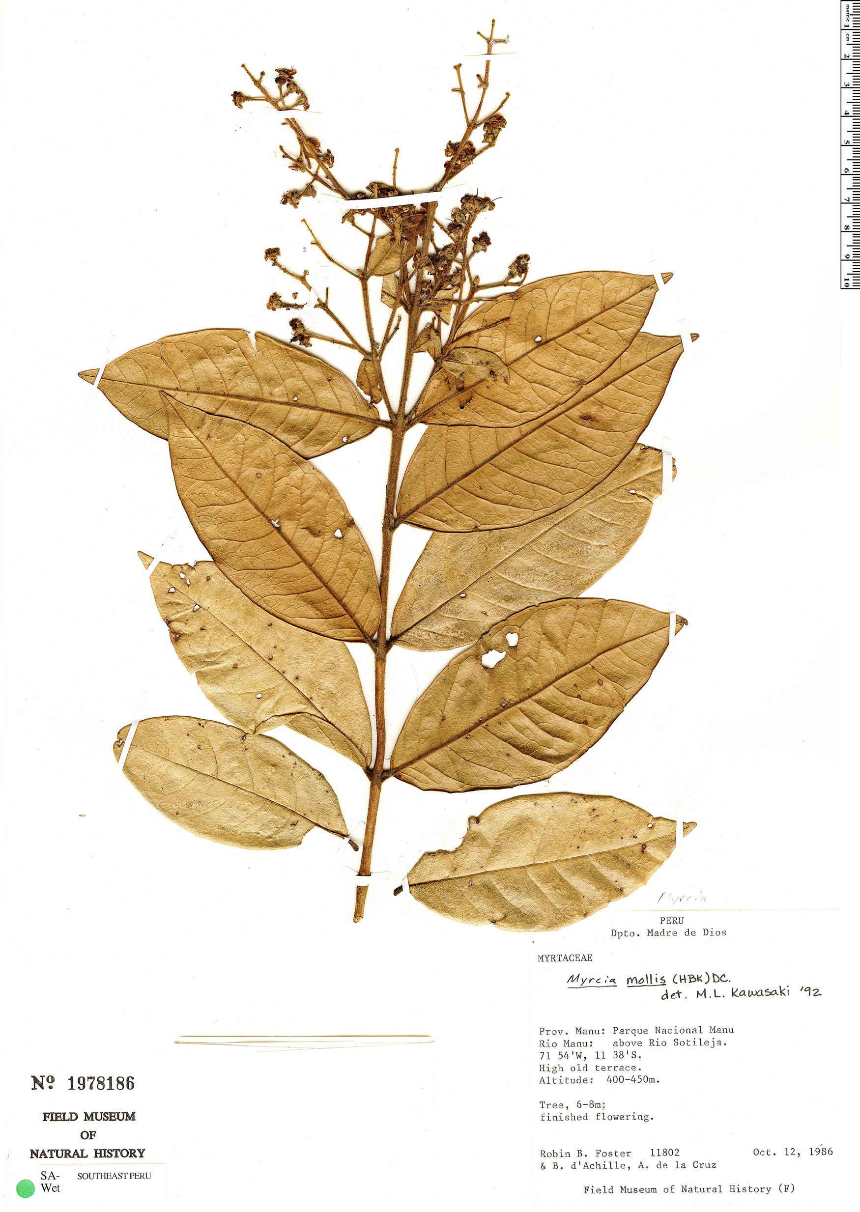 Specimen: Myrcia mollis